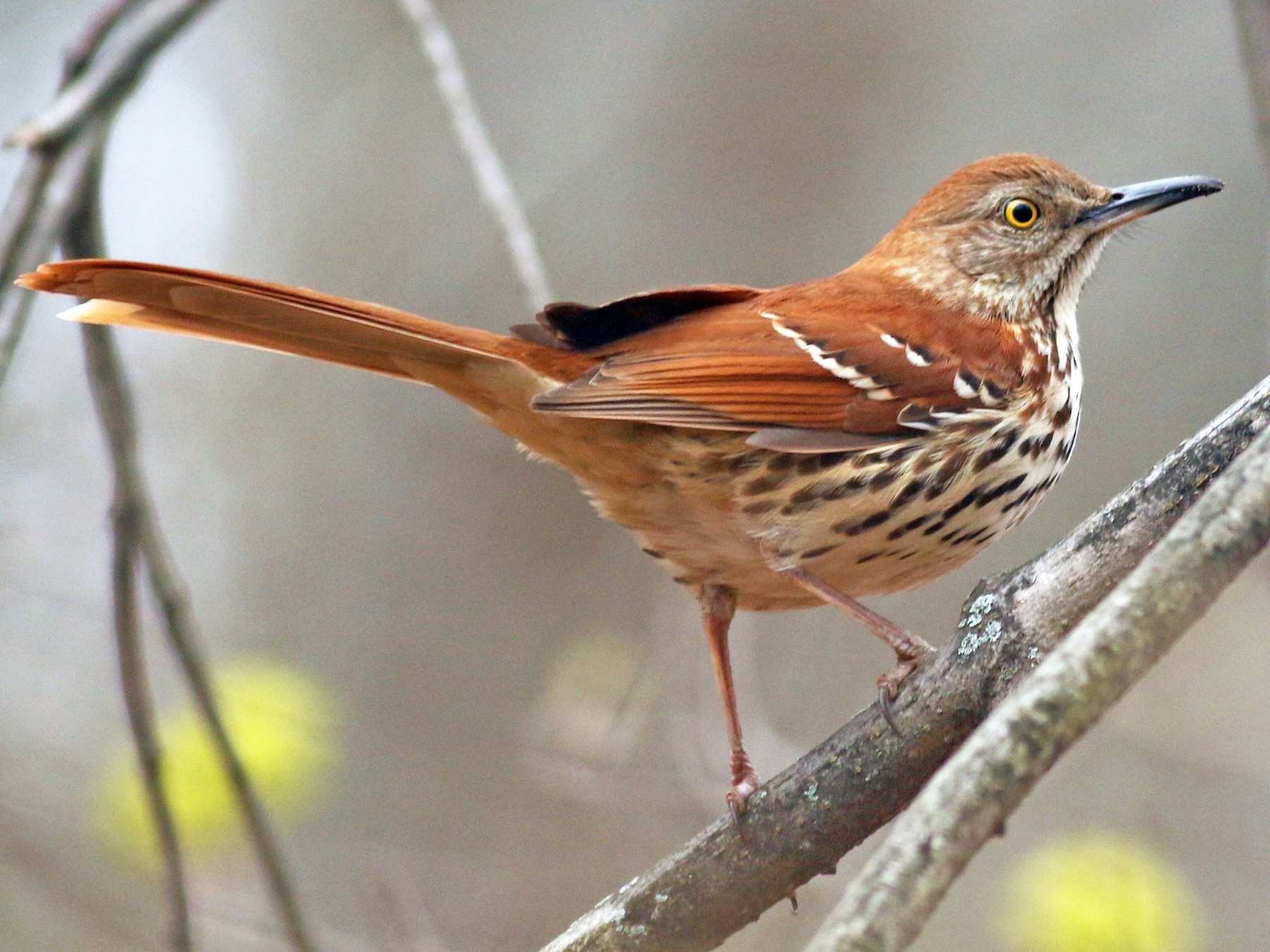 Brown Thrasher - Nathan Dubrow