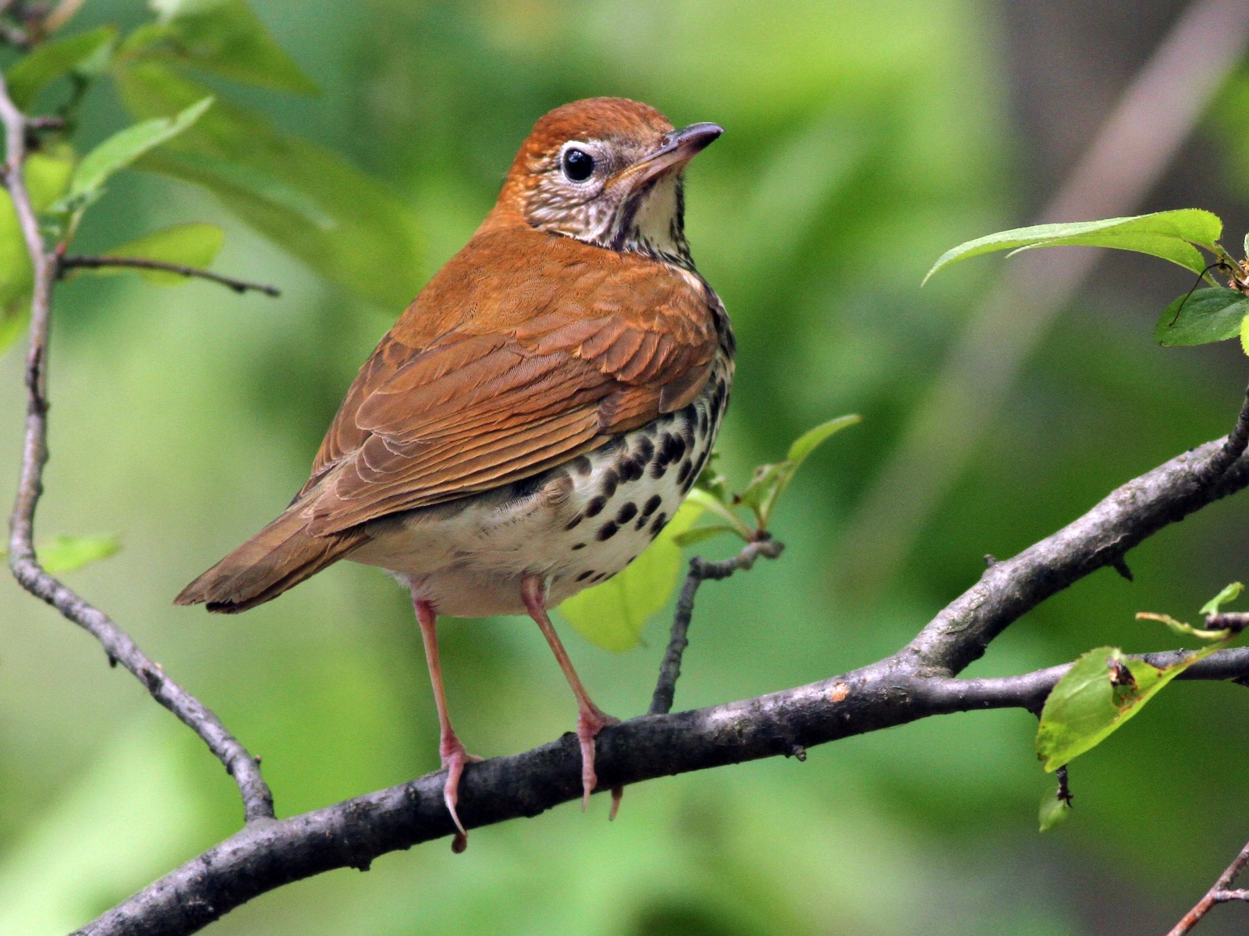 Wood Thrush - Evan Lipton