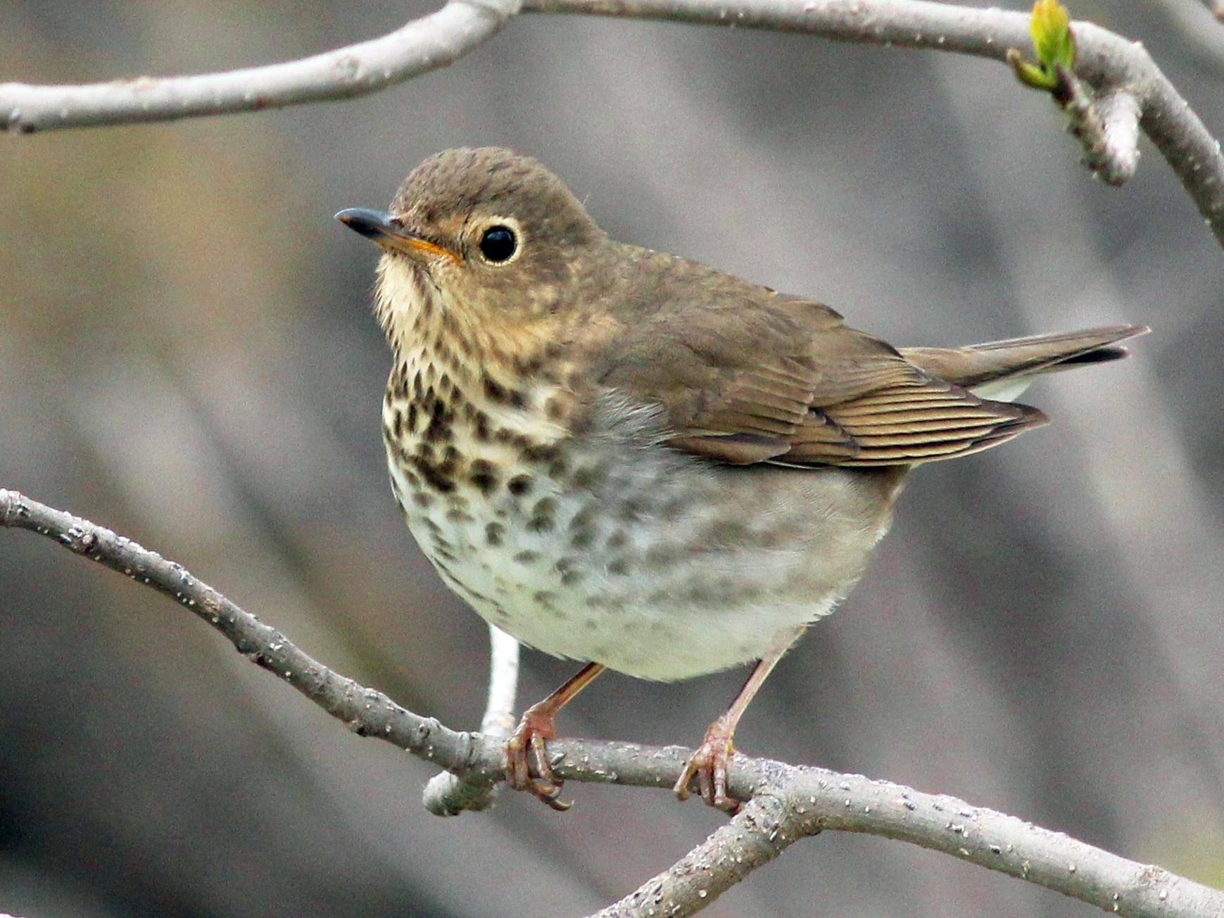 Swainson's Thrush - Shawn Billerman