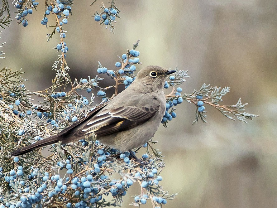 Townsend's Solitaire - Dan Cook