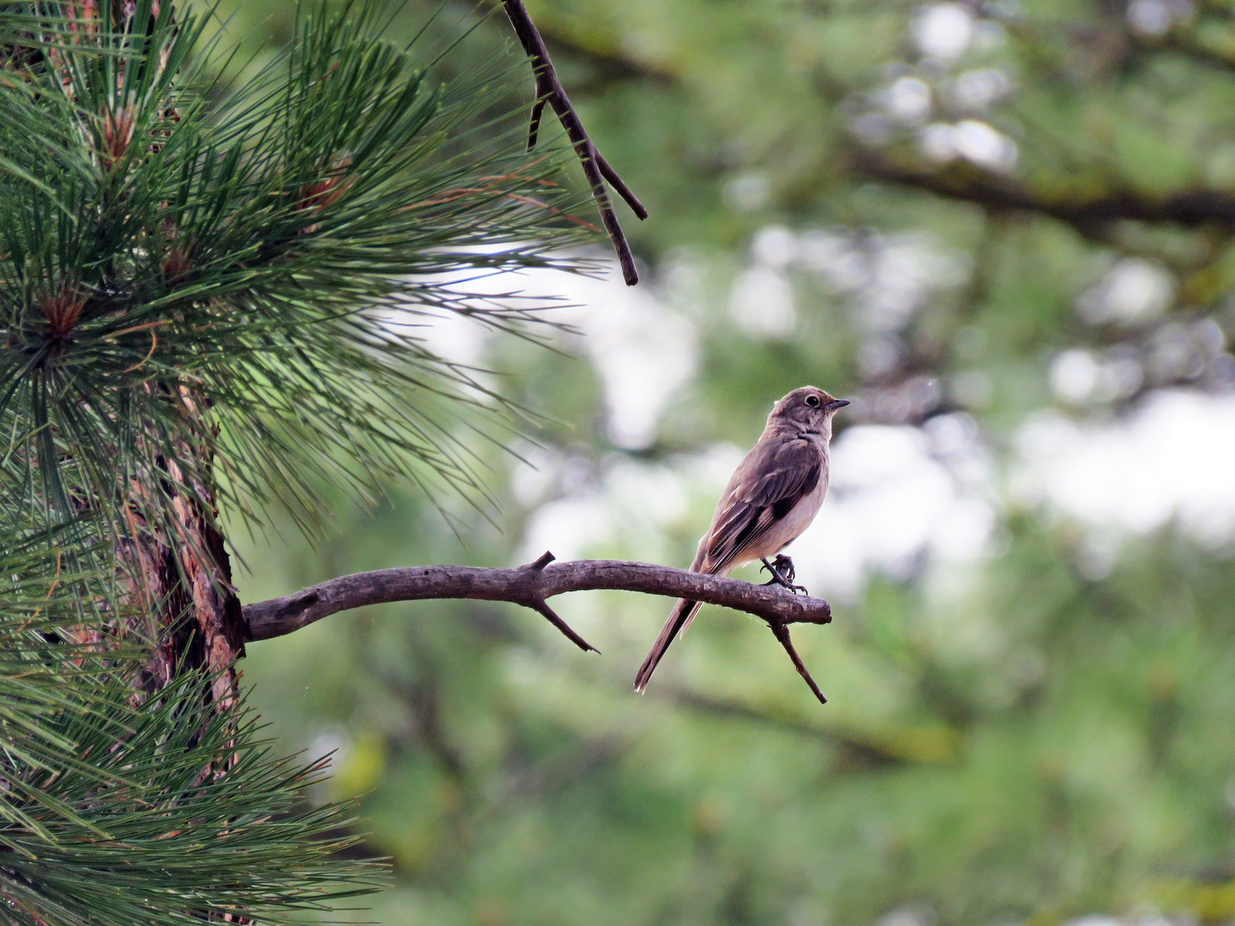 Townsend's Solitaire - Dave Slager