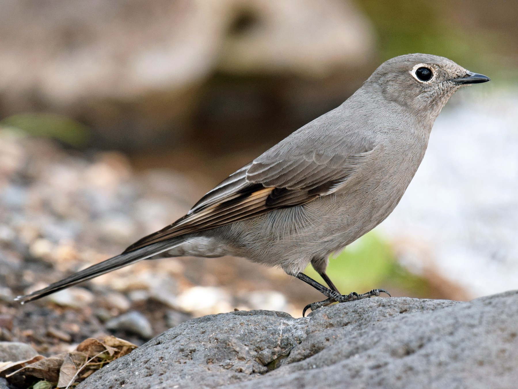 Townsend's Solitaire - Ryan O'Donnell