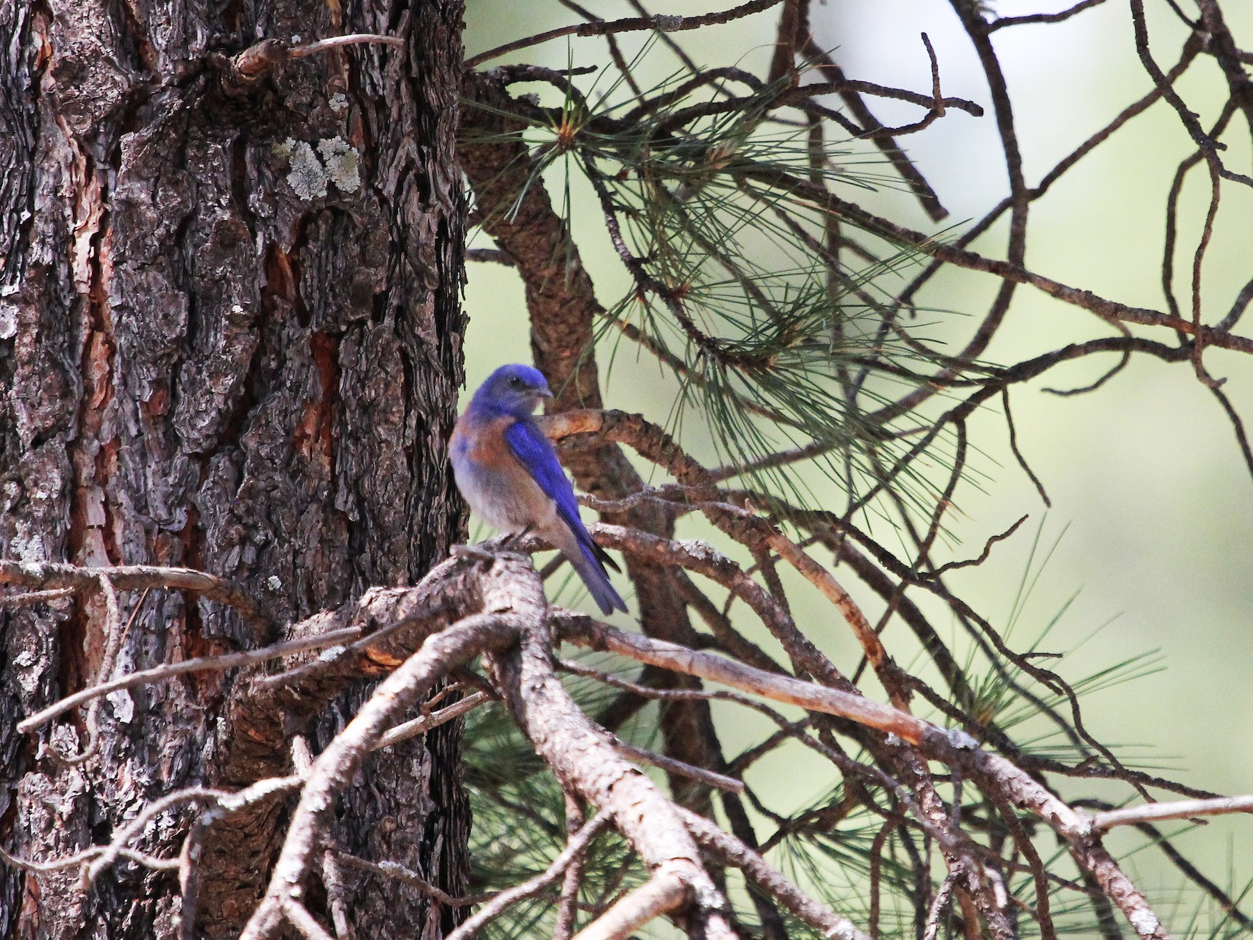 Western Bluebird - Jerry Elling