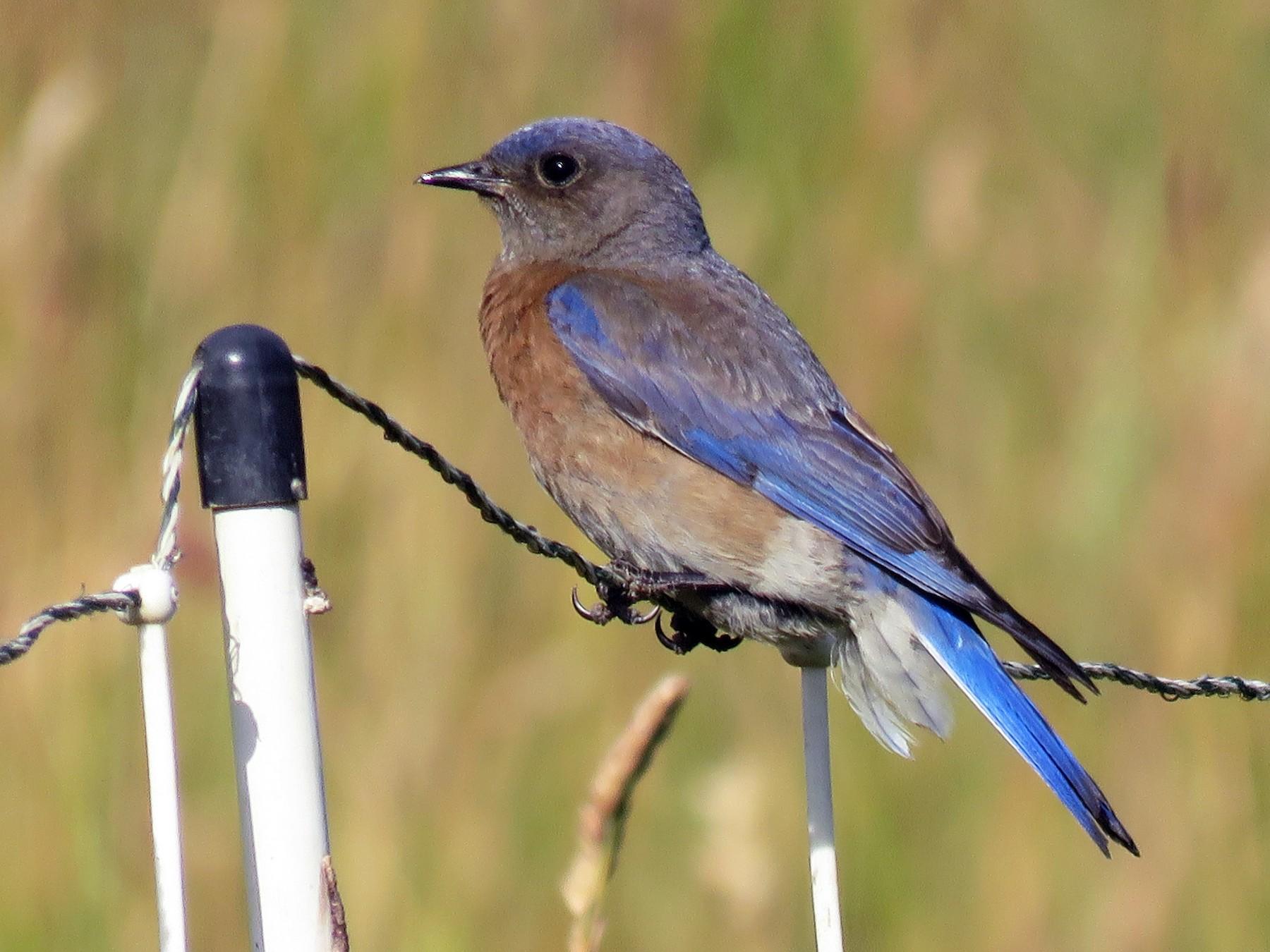 Western Bluebird - Kai Frueh