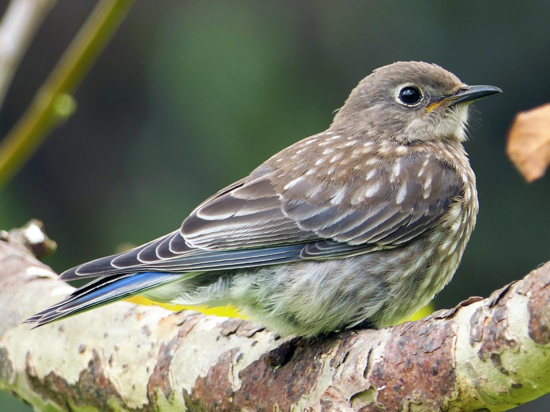 Western Bluebird - Robert Hamilton