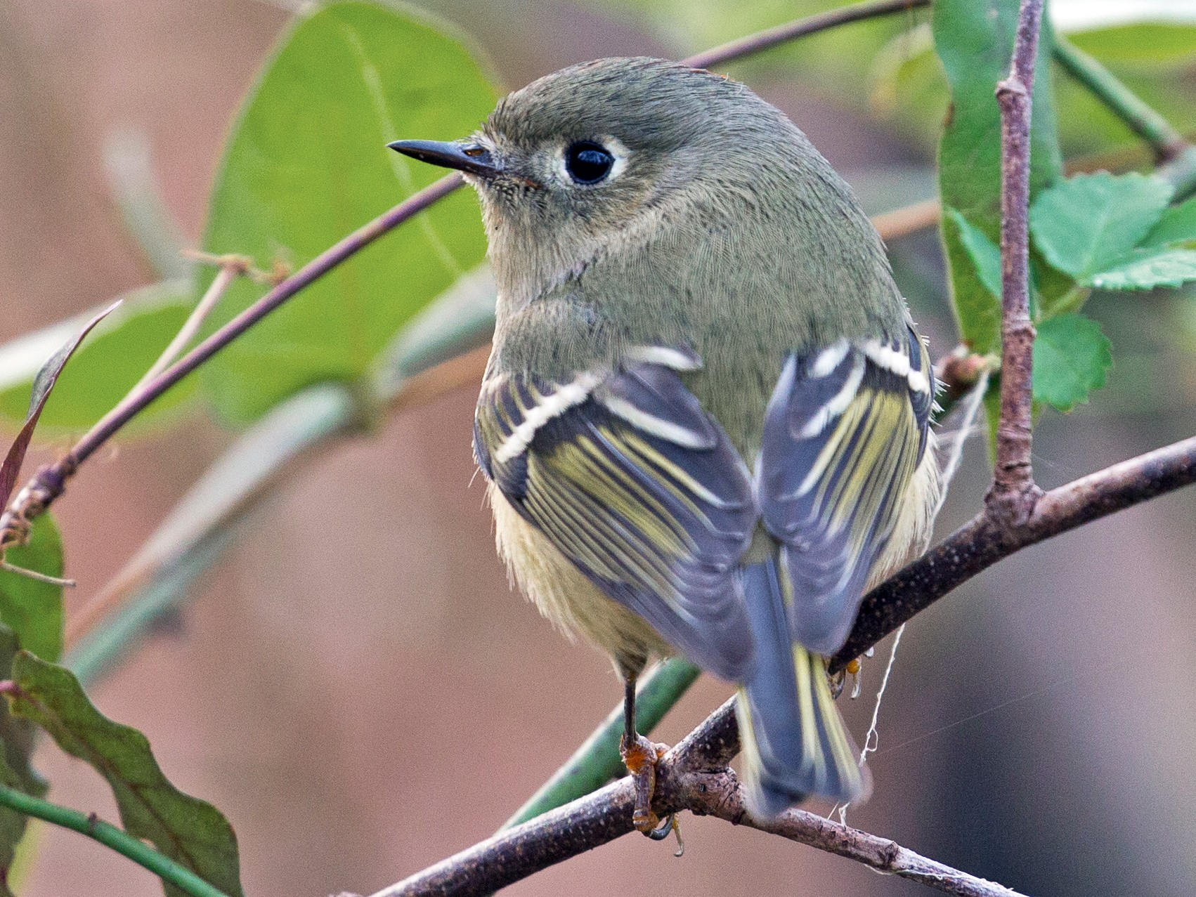 Ruby-crowned Kinglet - David Disher