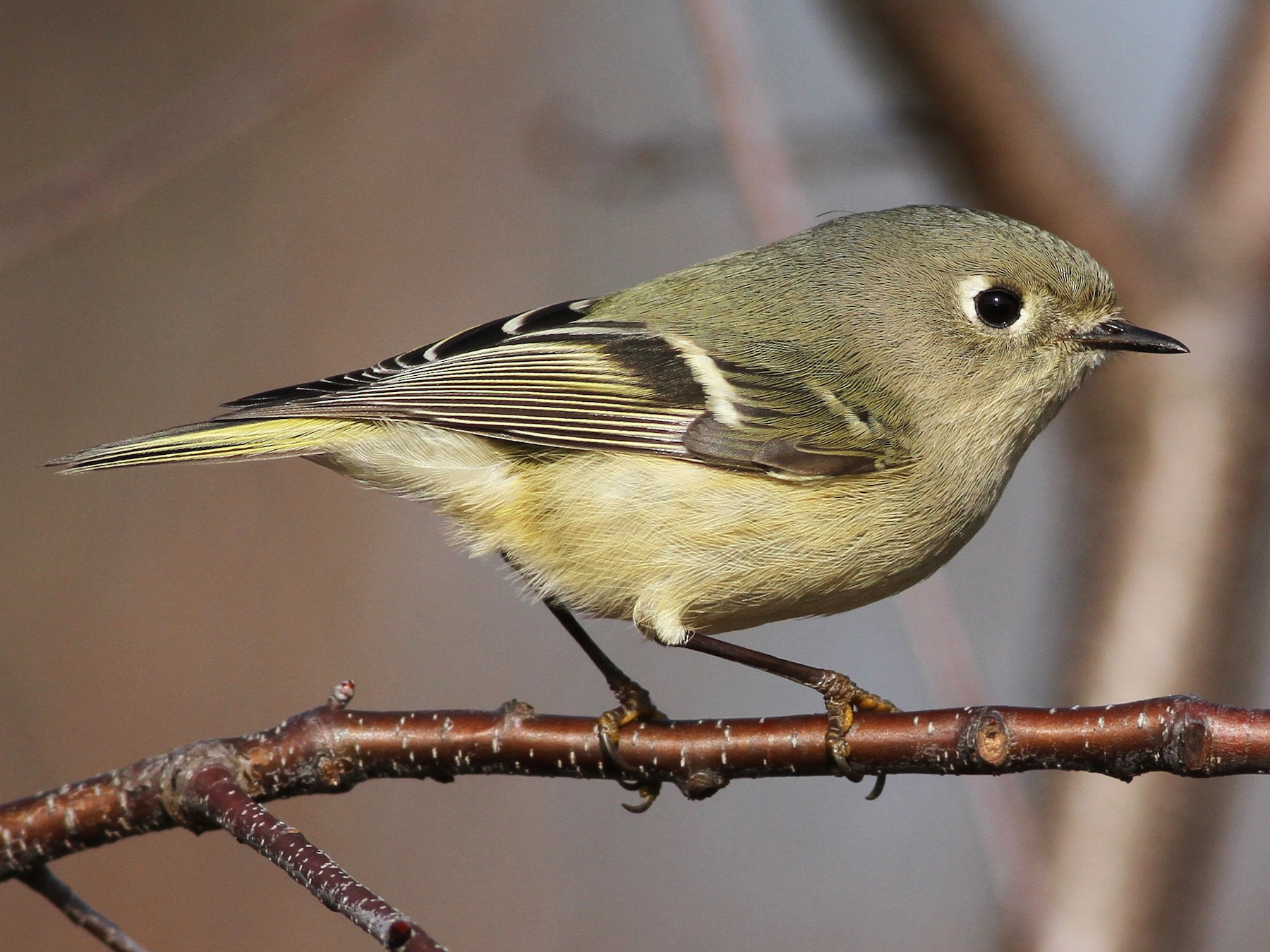 Ruby-crowned Kinglet - Evan Lipton