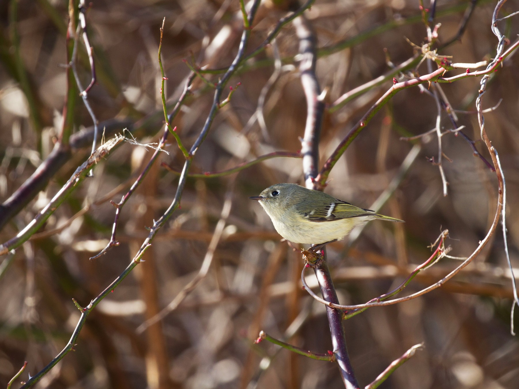 Ruby-crowned Kinglet - Dan Berard