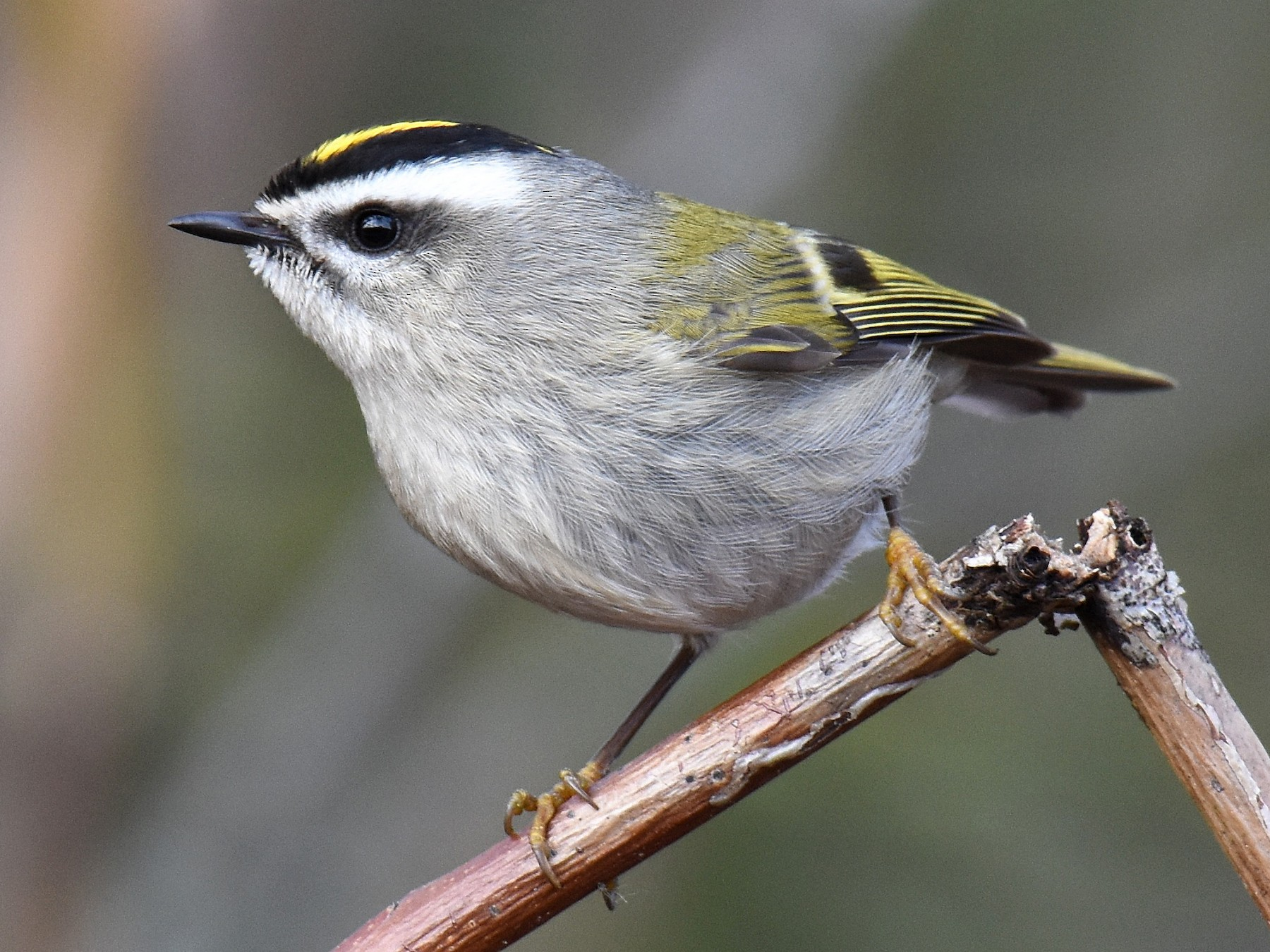 Golden-crowned Kinglet - Jason Vassallo