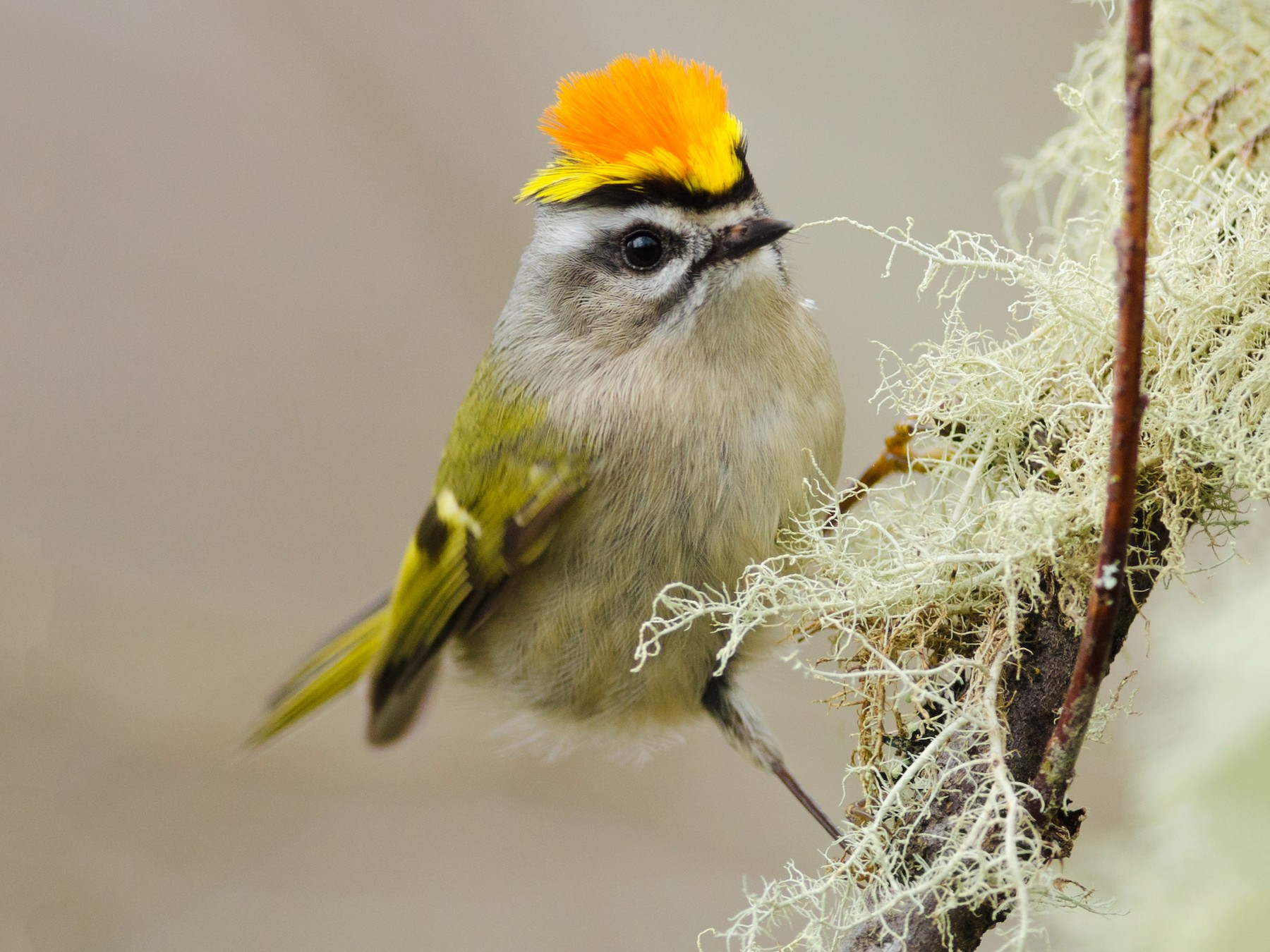 Golden-crowned Kinglet - Jacob McGinnis