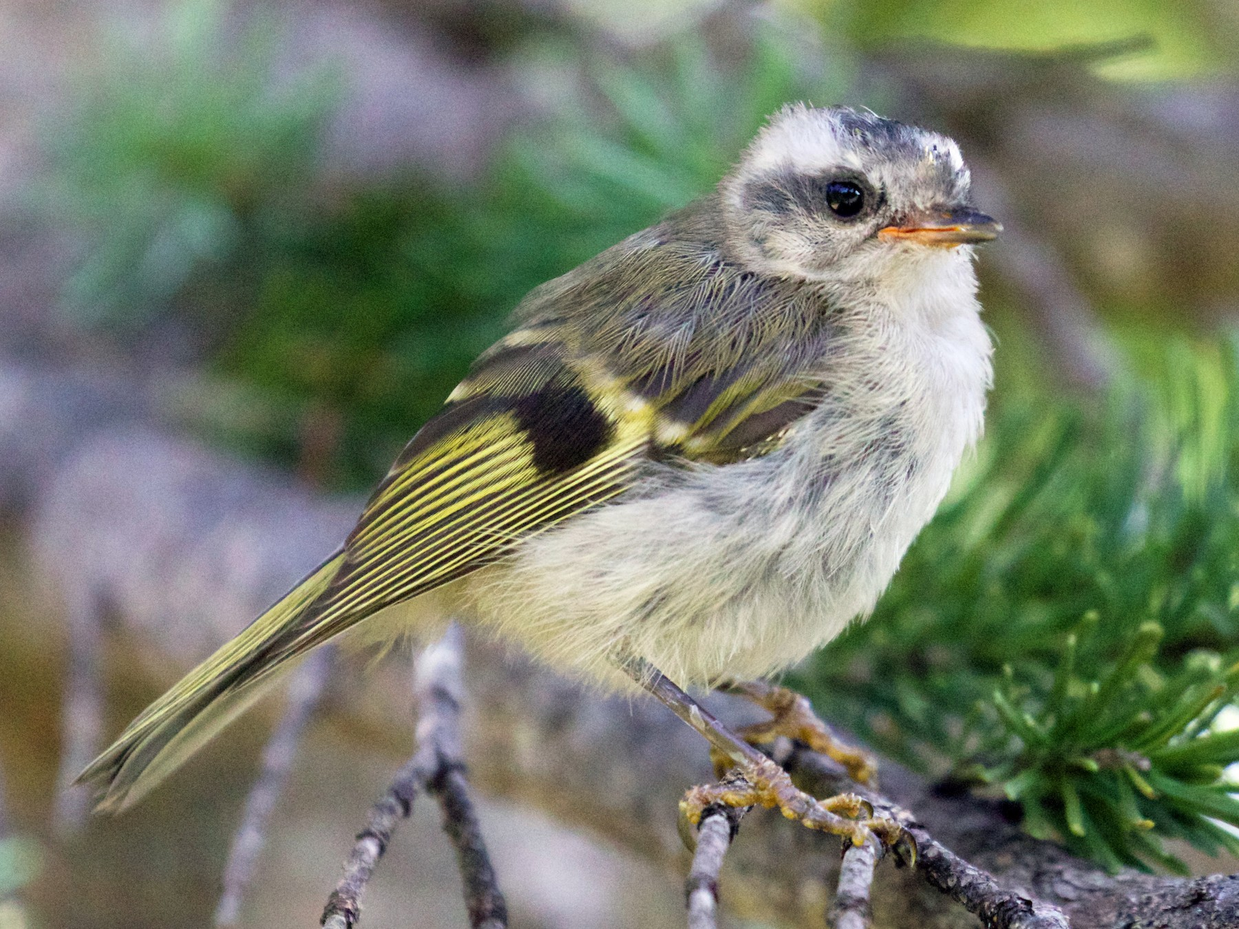 Golden-crowned Kinglet - Gates Dupont