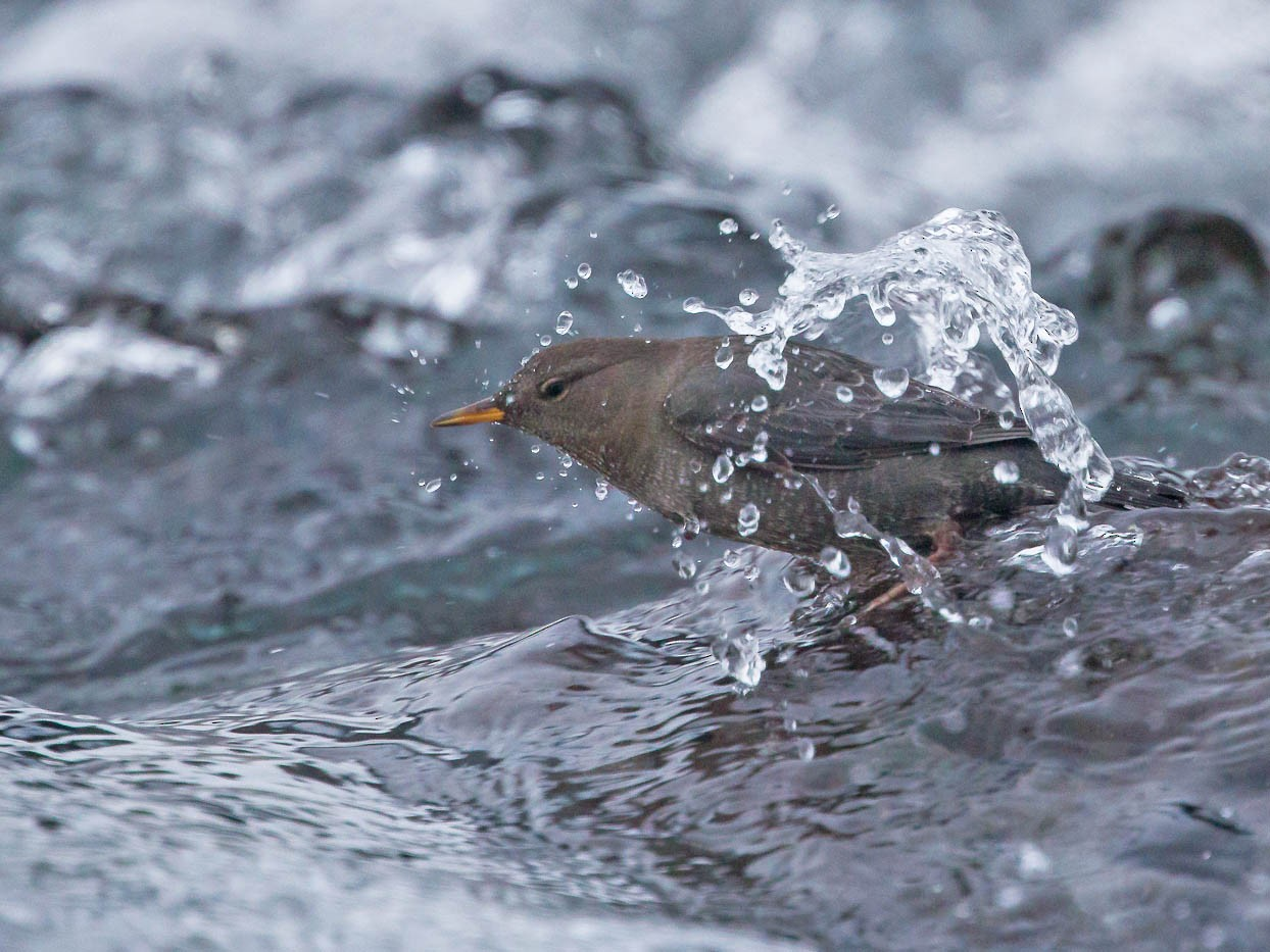 American Dipper - Geoff Newhouse