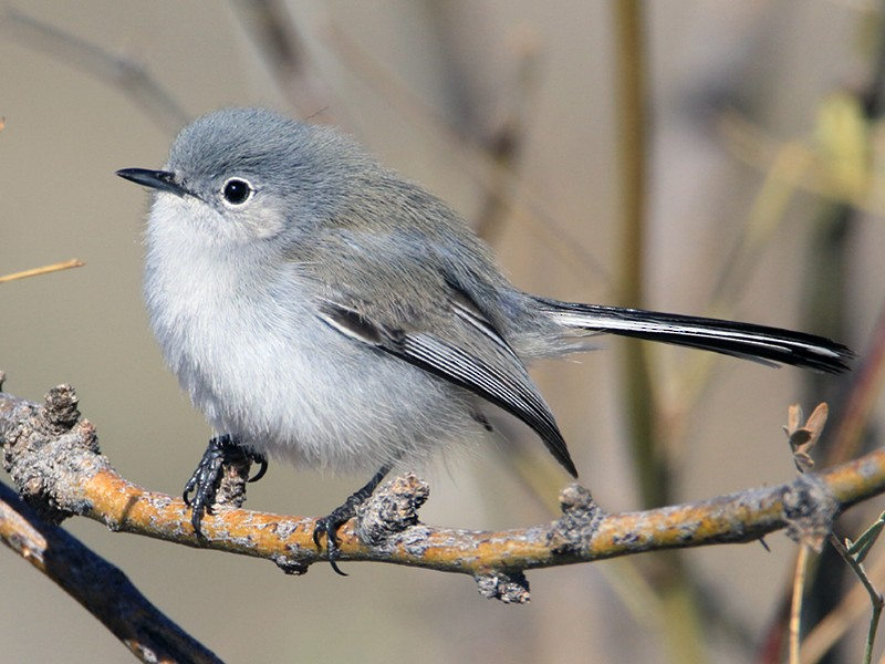 Black-tailed Gnatcatcher - Moe Bertrand