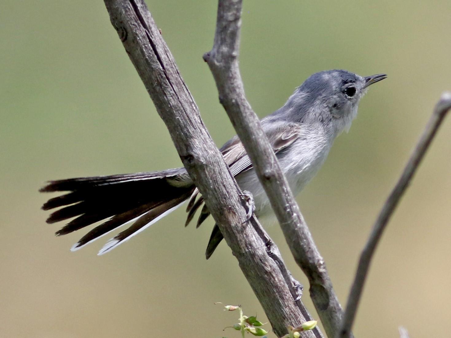 Black-tailed Gnatcatcher - Jay McGowan