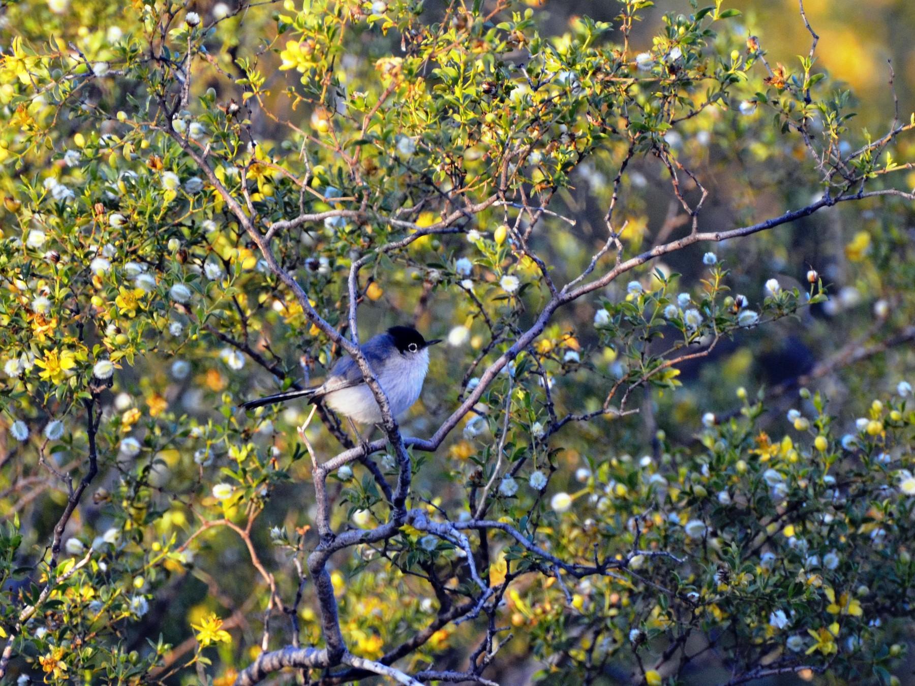 Black-tailed Gnatcatcher - Jay Watson