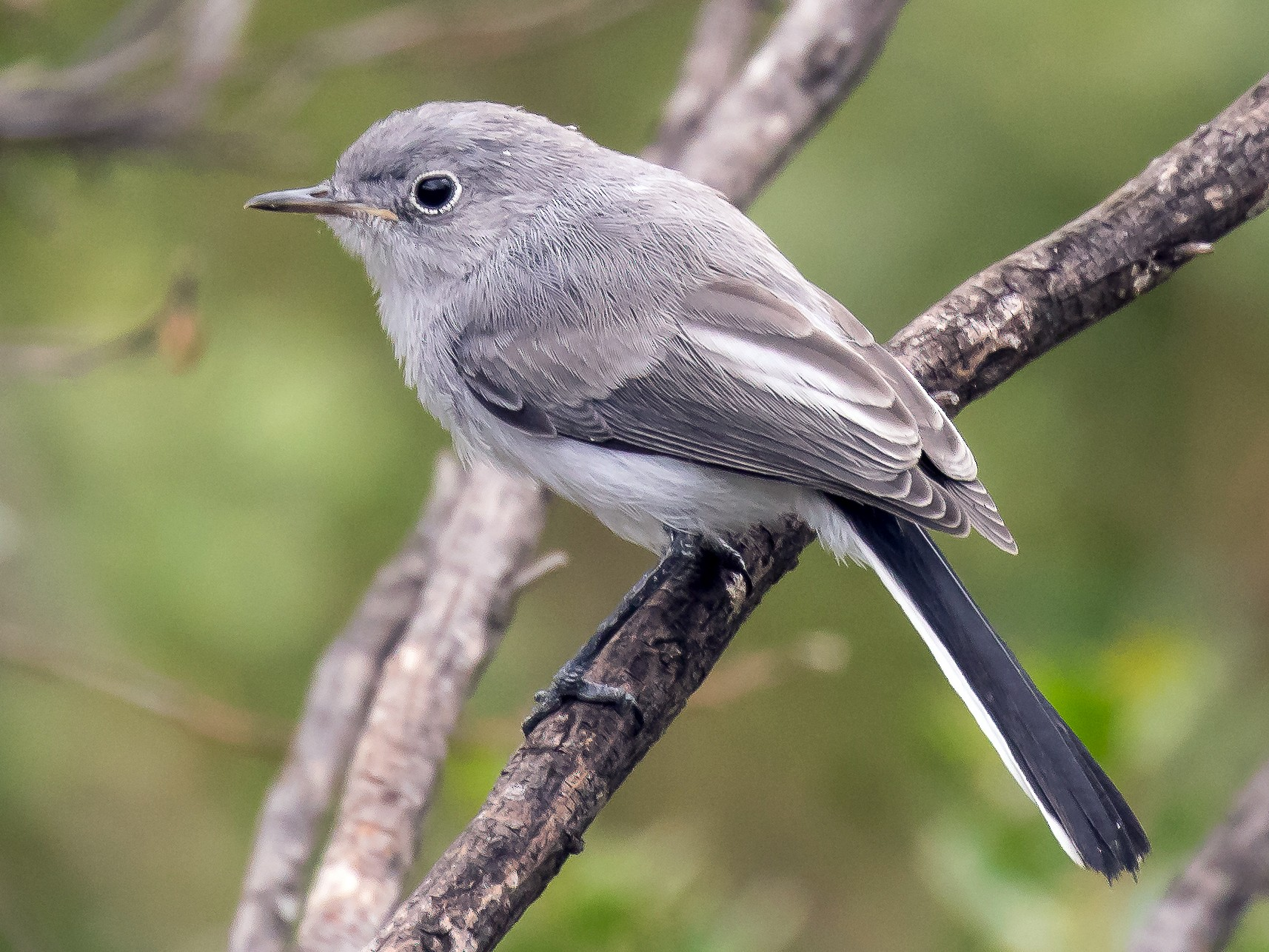 Blue-gray Gnatcatcher - Peter Hawrylyshyn