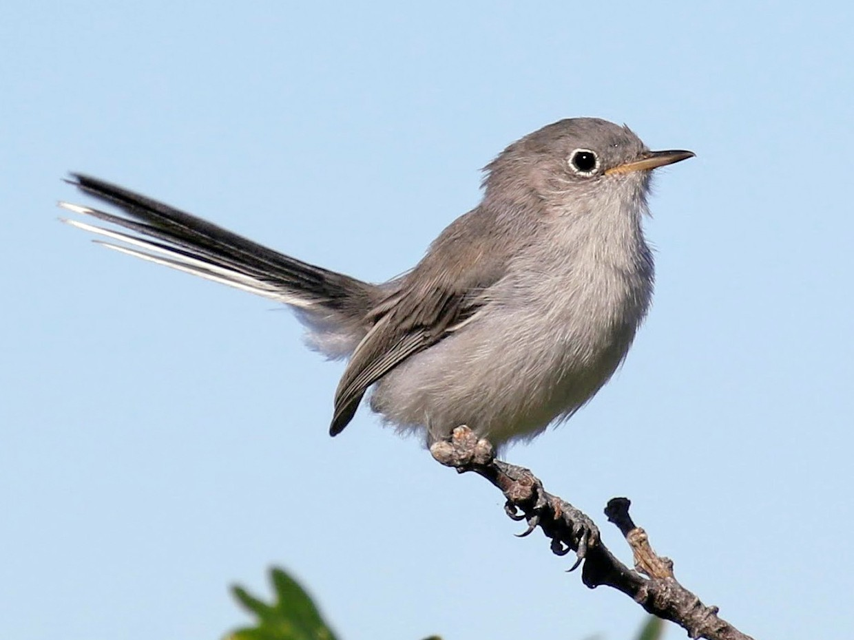Blue-gray Gnatcatcher - Keith Leland