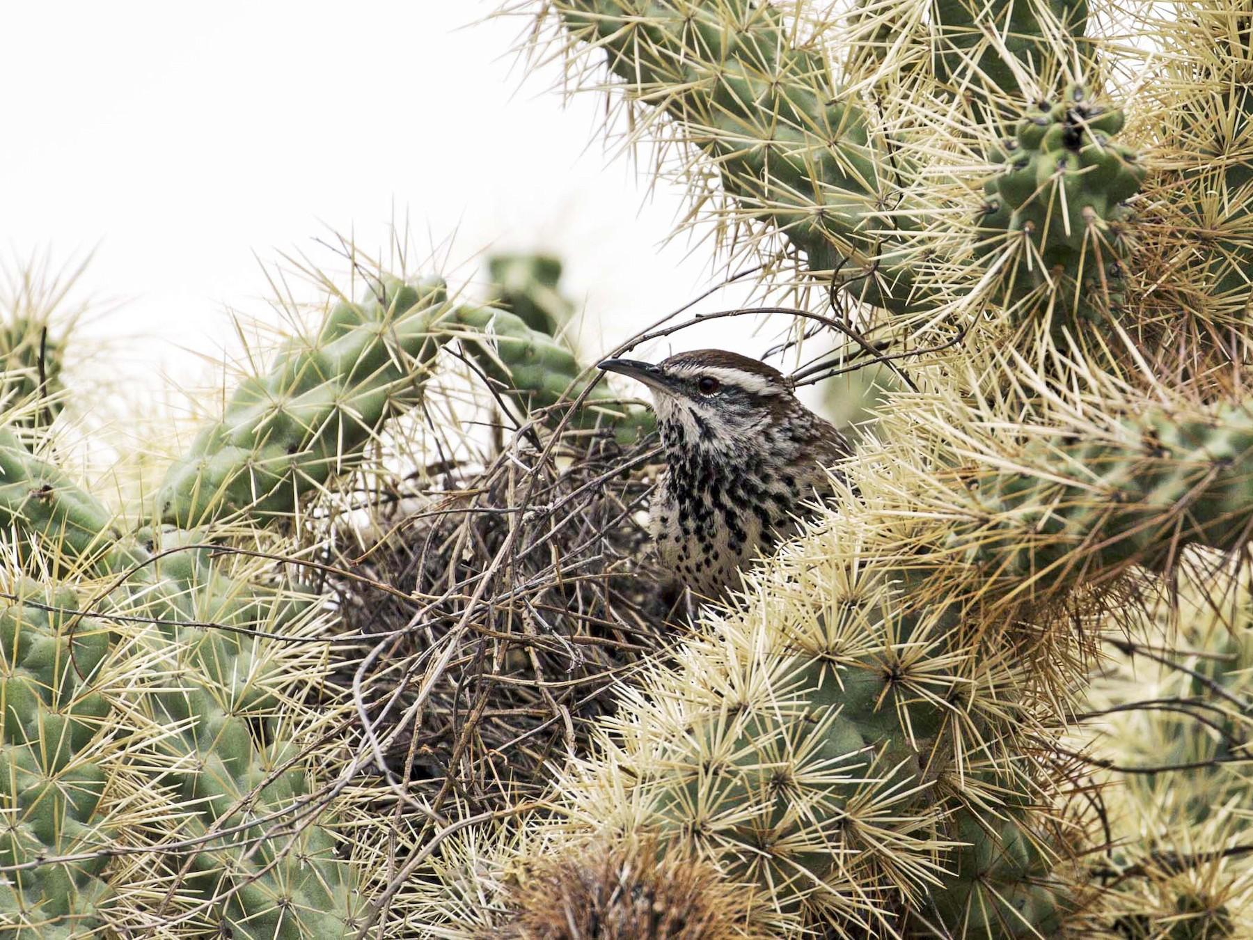 Cactus Wren - Douglas Bruns