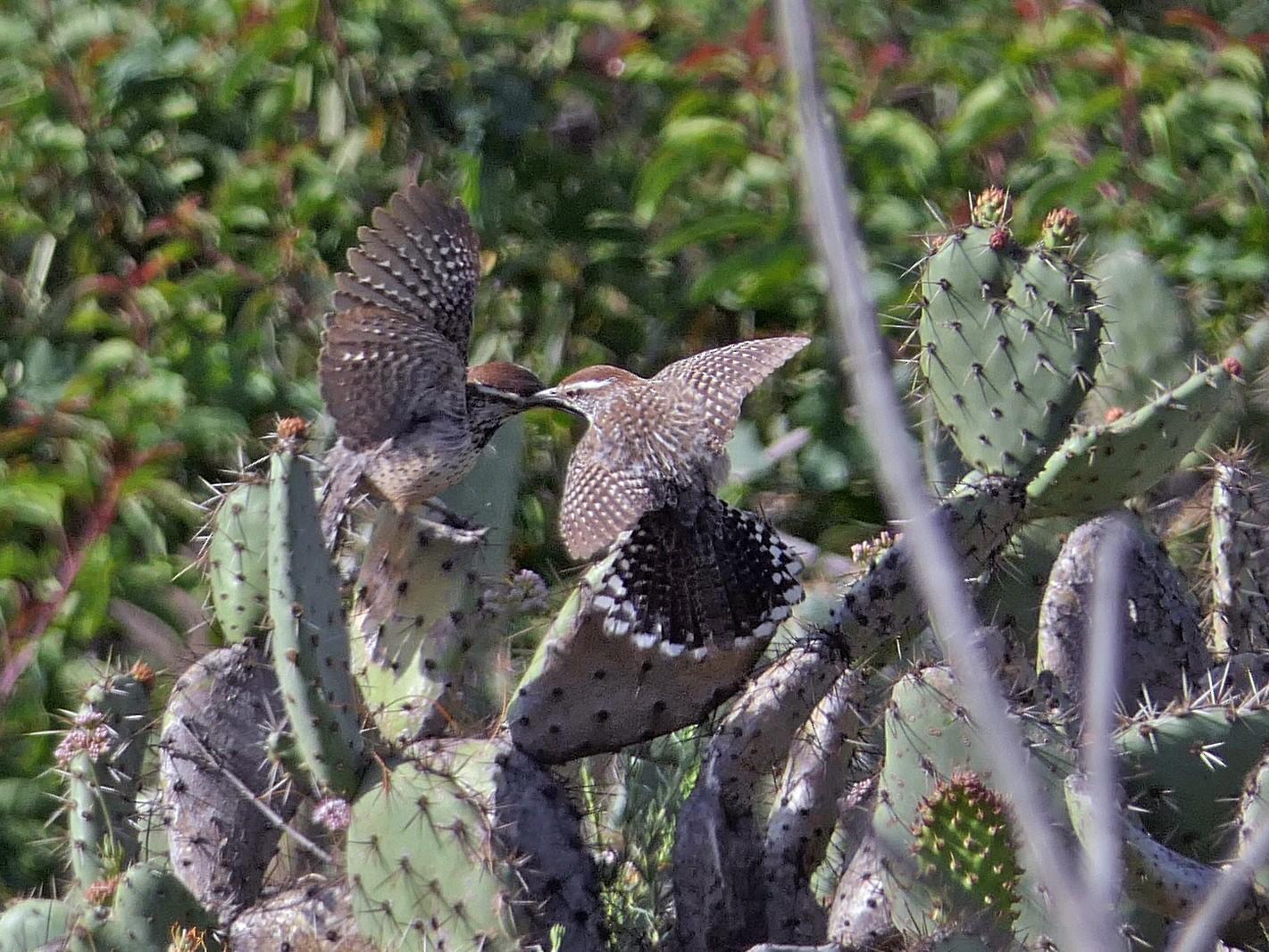 Cactus Wren - Robert Hamilton