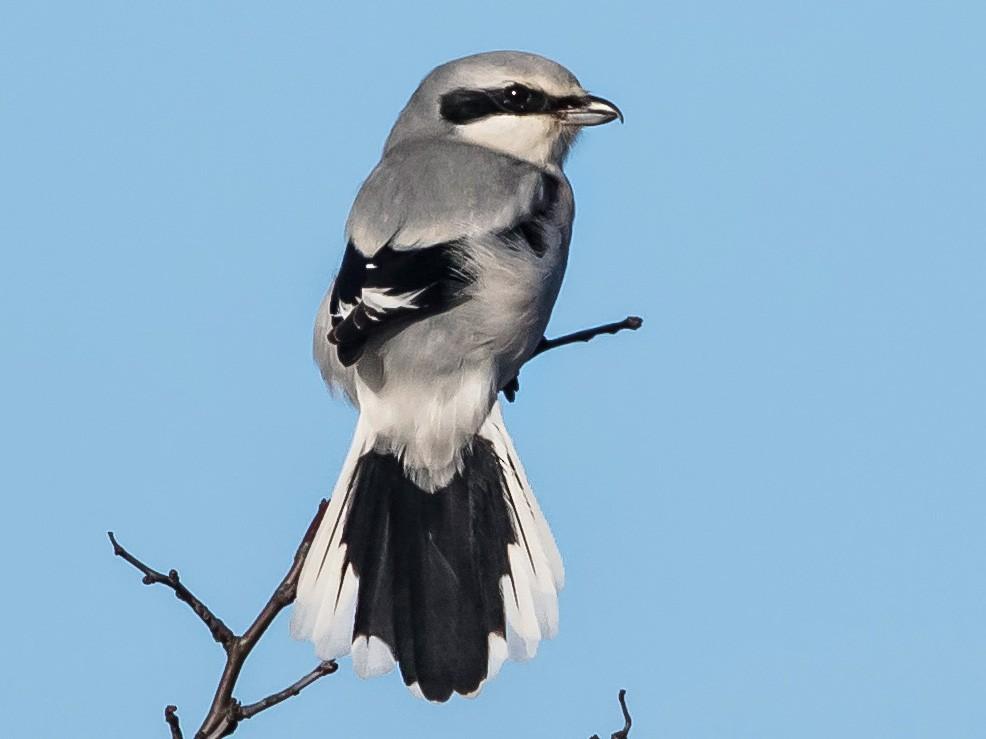 Great Gray Shrike - Peter Kennerley