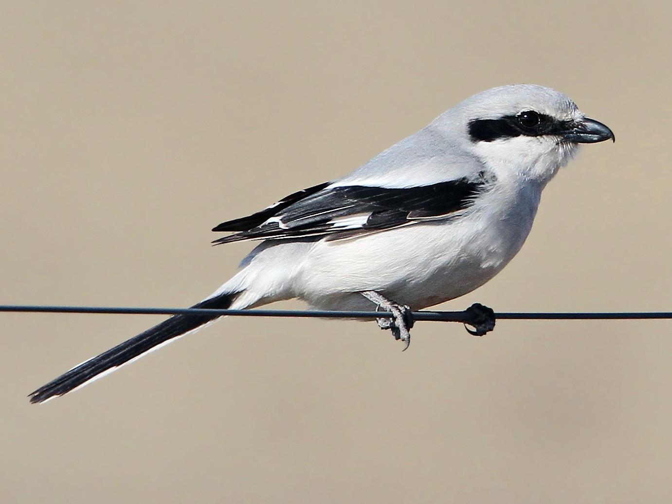 Great Gray Shrike - Christoph Moning