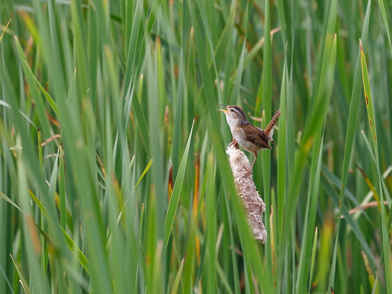 Marsh Wren - Anonymous eBirder