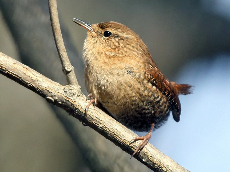 Winter Wren - Tom Murray