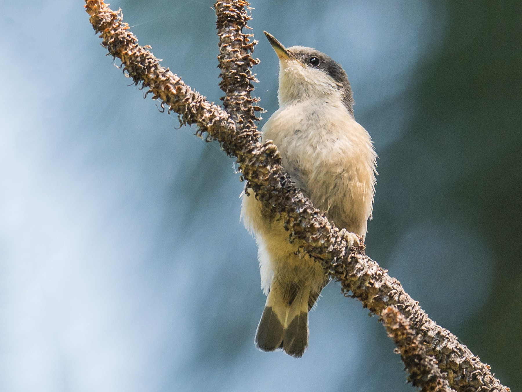 Pygmy Nuthatch - Jeff Bleam