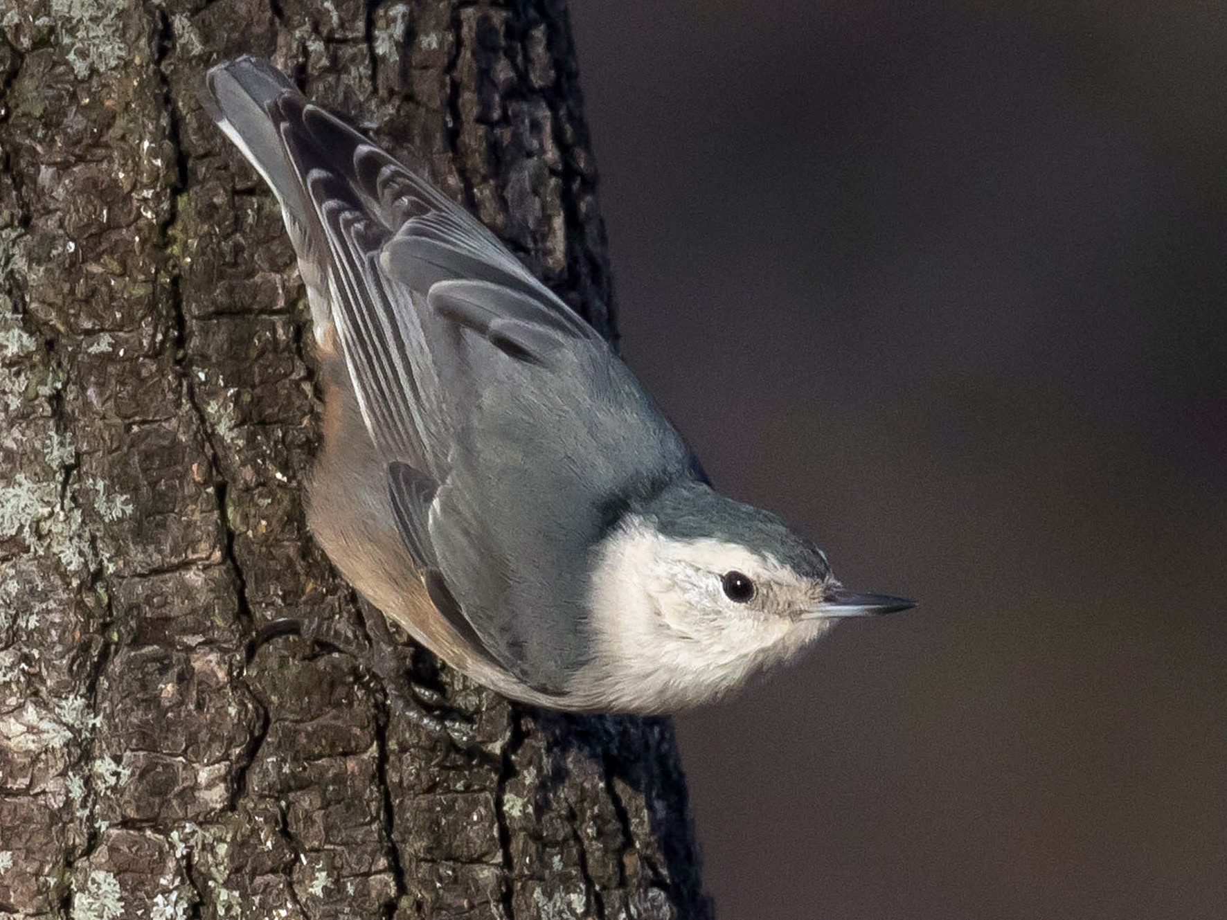 White-breasted Nuthatch - Patricia Clark