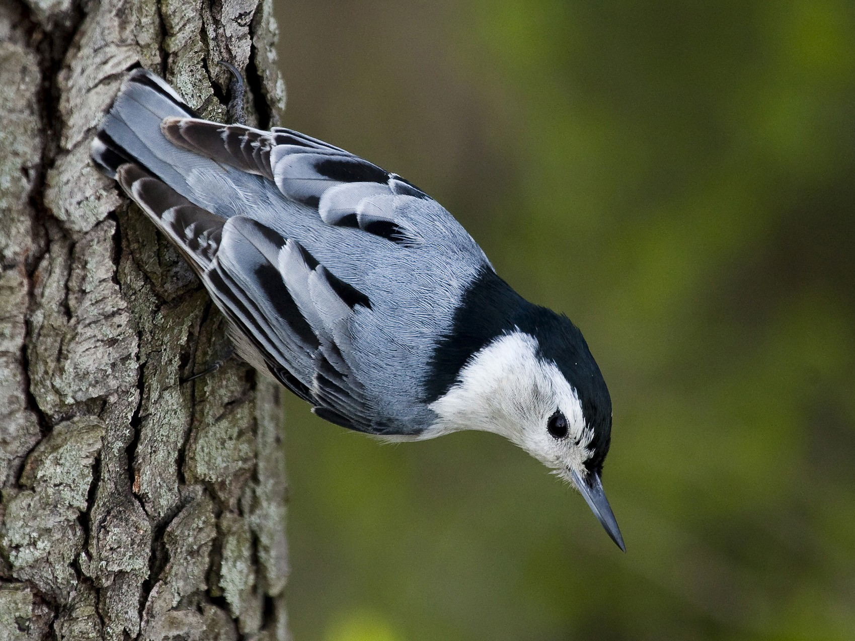 White-breasted Nuthatch - Gordon Dimmig