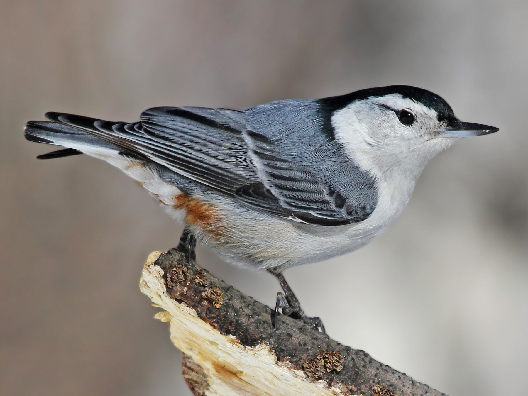 White-breasted Nuthatch - Ryan Schain