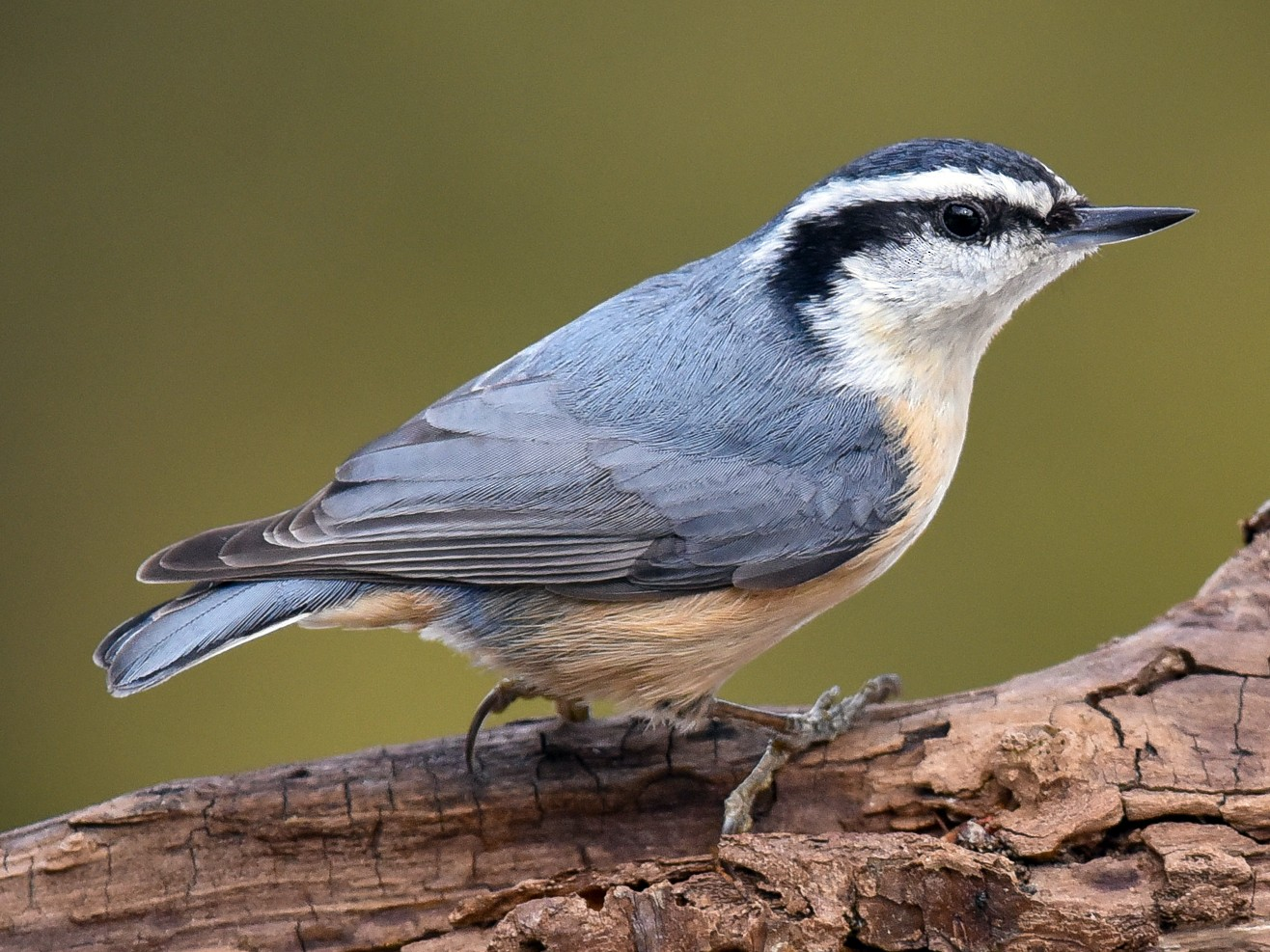 Red-breasted Nuthatch - Scott Martin