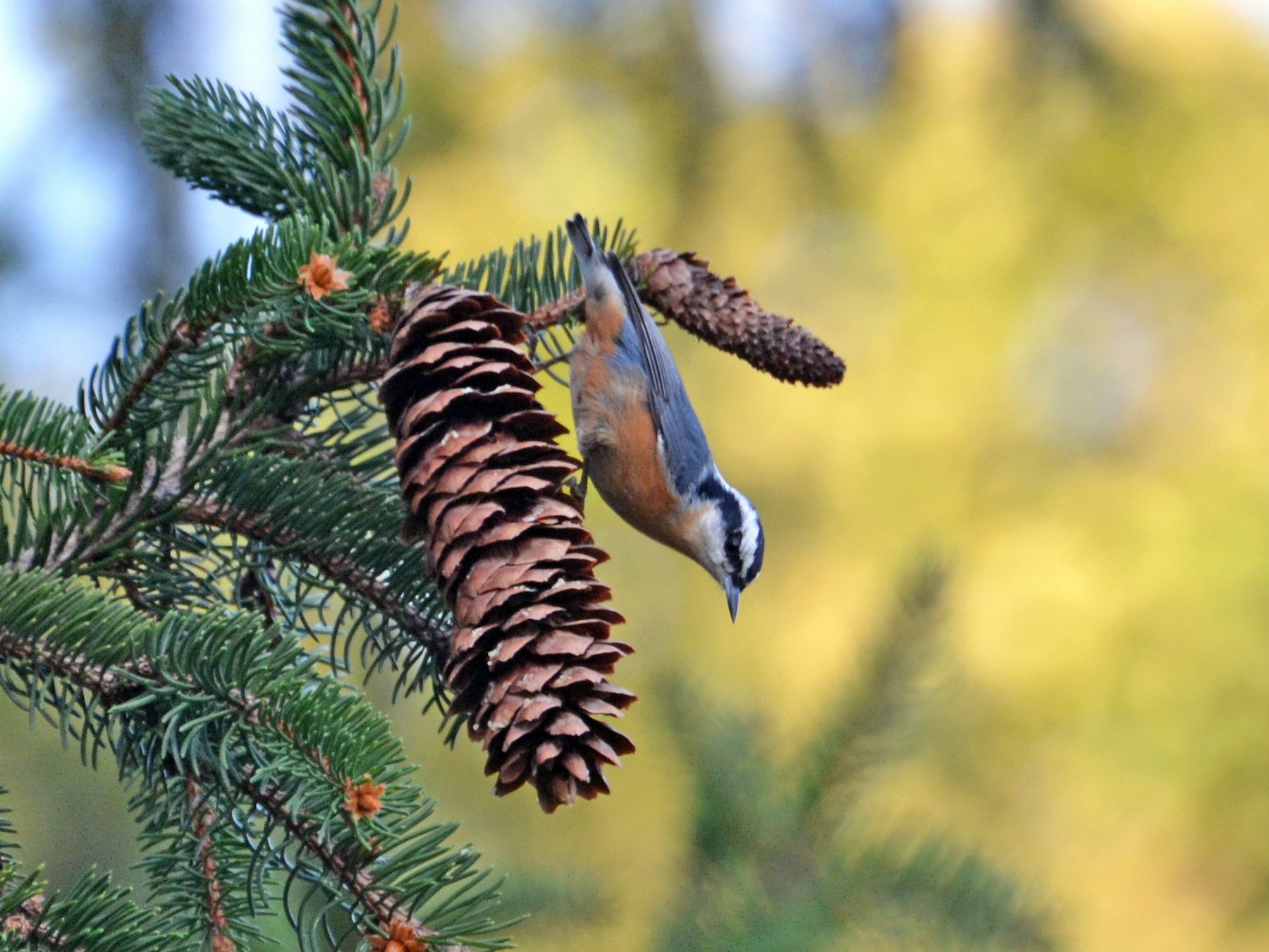 Red-breasted Nuthatch - Kristen Johnson