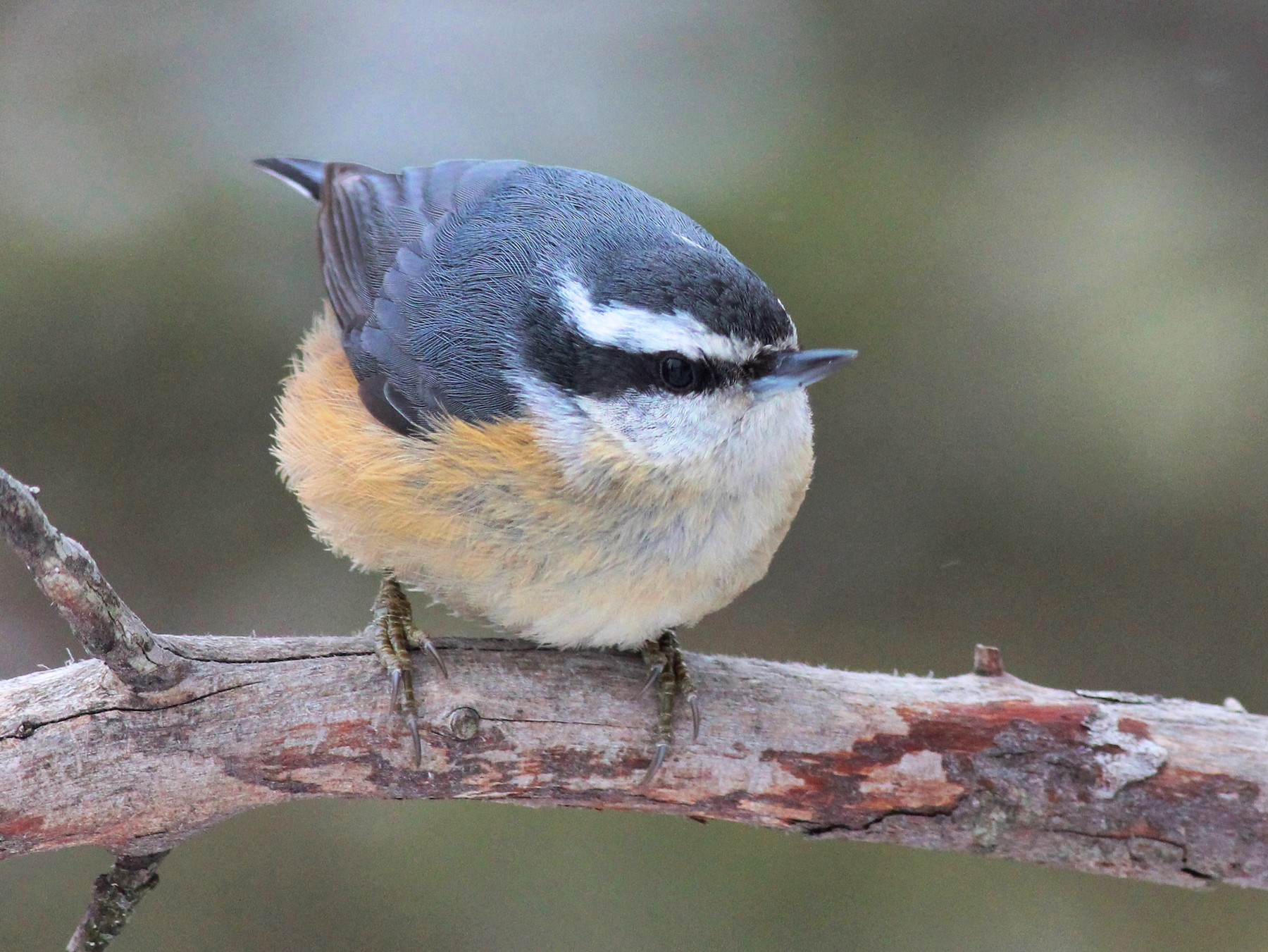 Red-breasted Nuthatch - Shawn Billerman