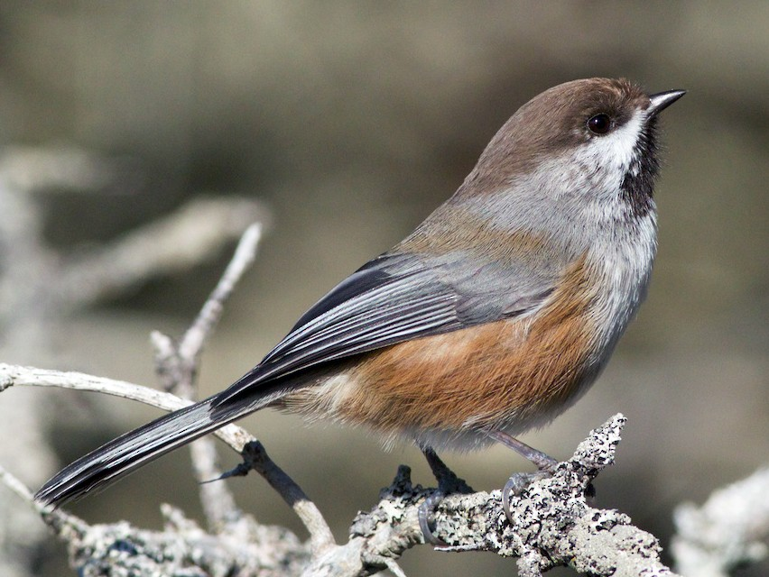 Boreal Chickadee - Chris Peters