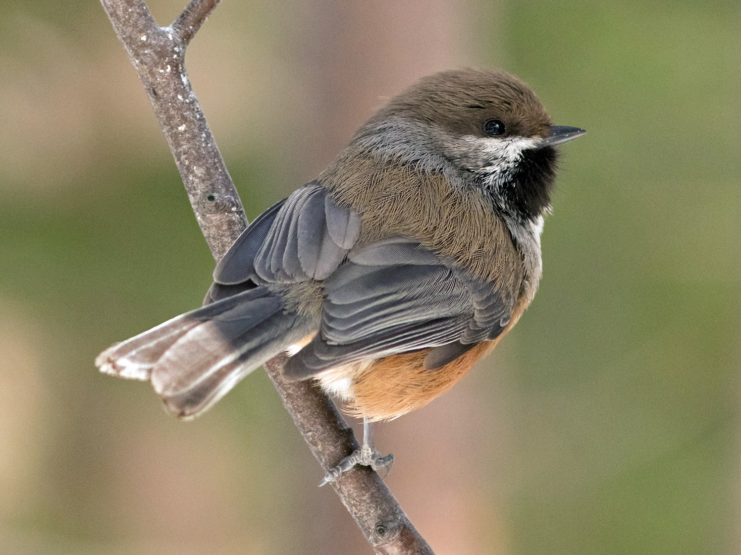 Boreal Chickadee - Geoff Smith