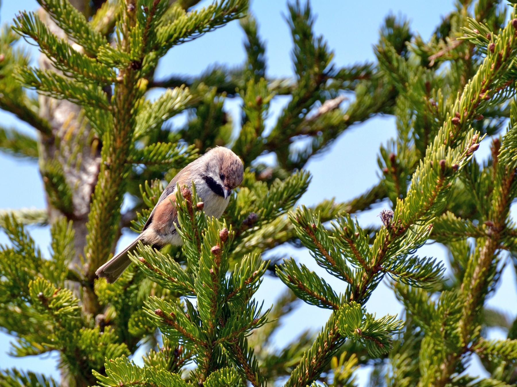 Boreal Chickadee - Epi Shemming
