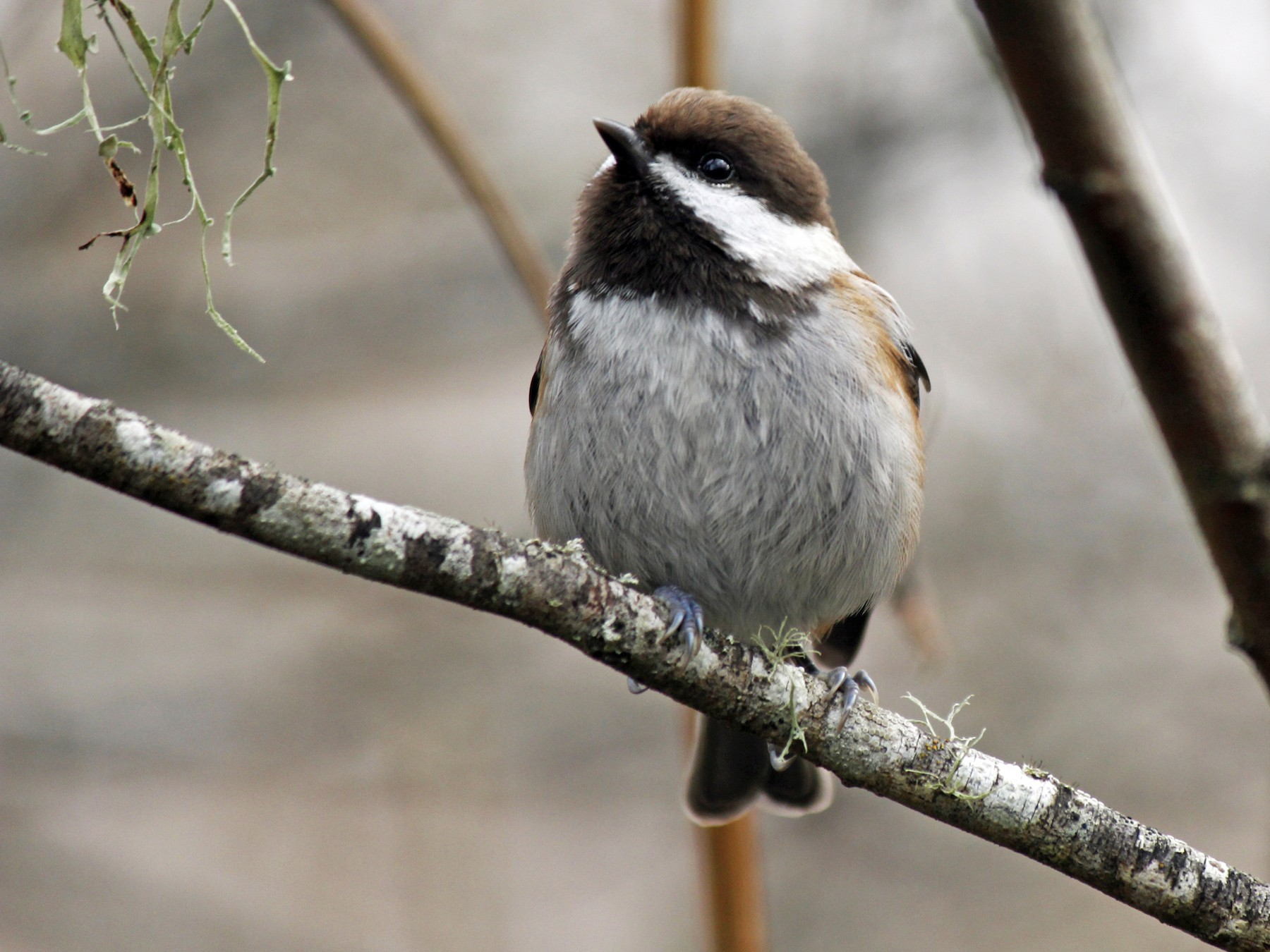Chestnut-backed Chickadee - Nick  Rosen