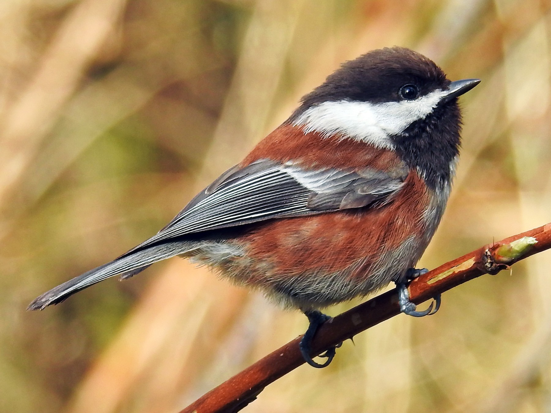 Chestnut-backed Chickadee - Neill Vanhinsberg