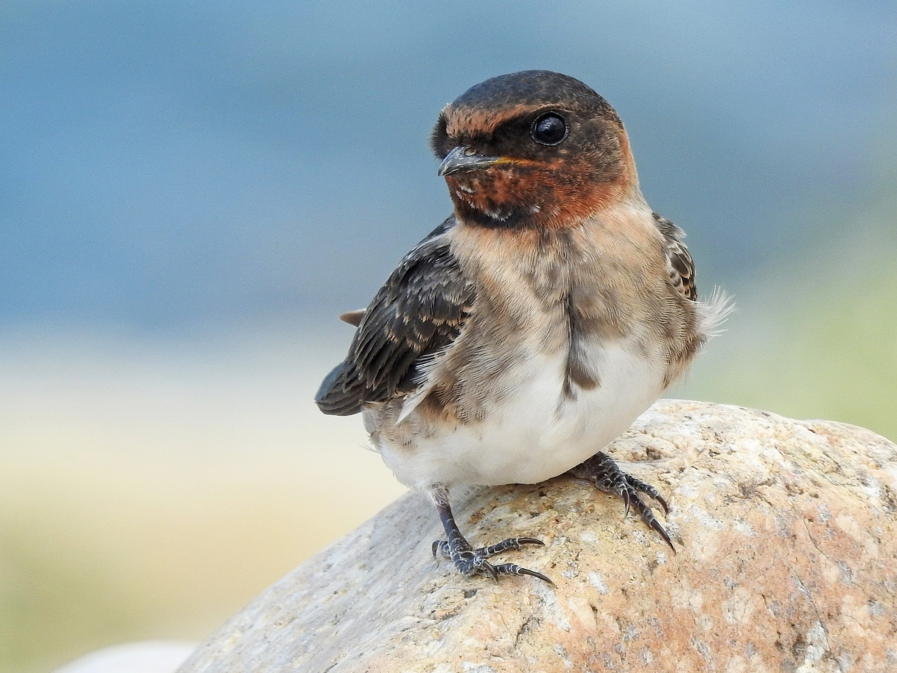 Cliff Swallow - Mary Rumple