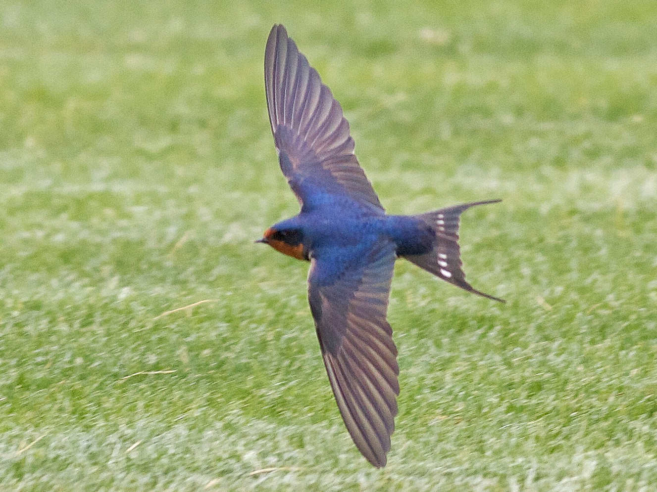 Barn Swallow - Nick Pulcinella