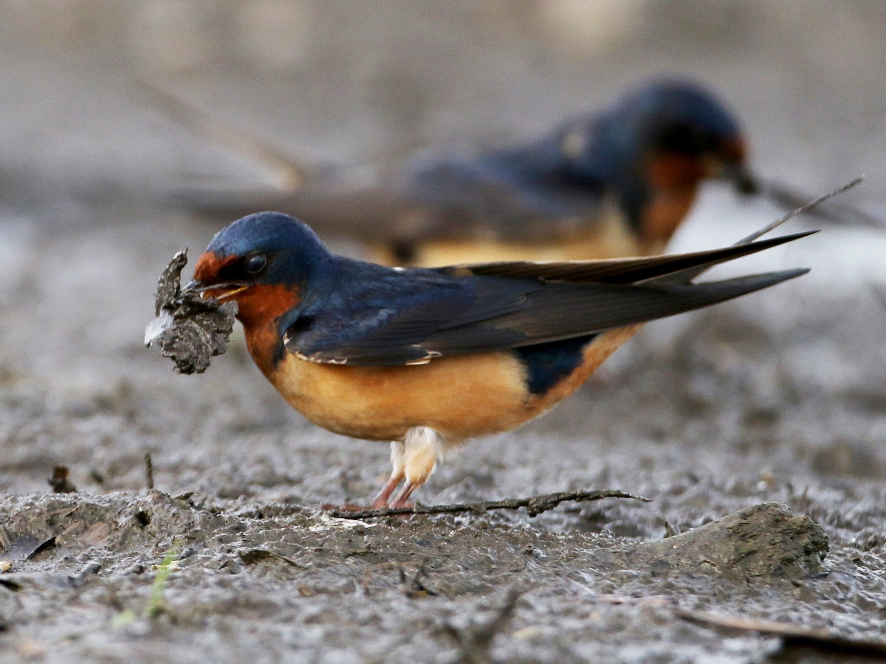 Barn Swallow - Jay McGowan