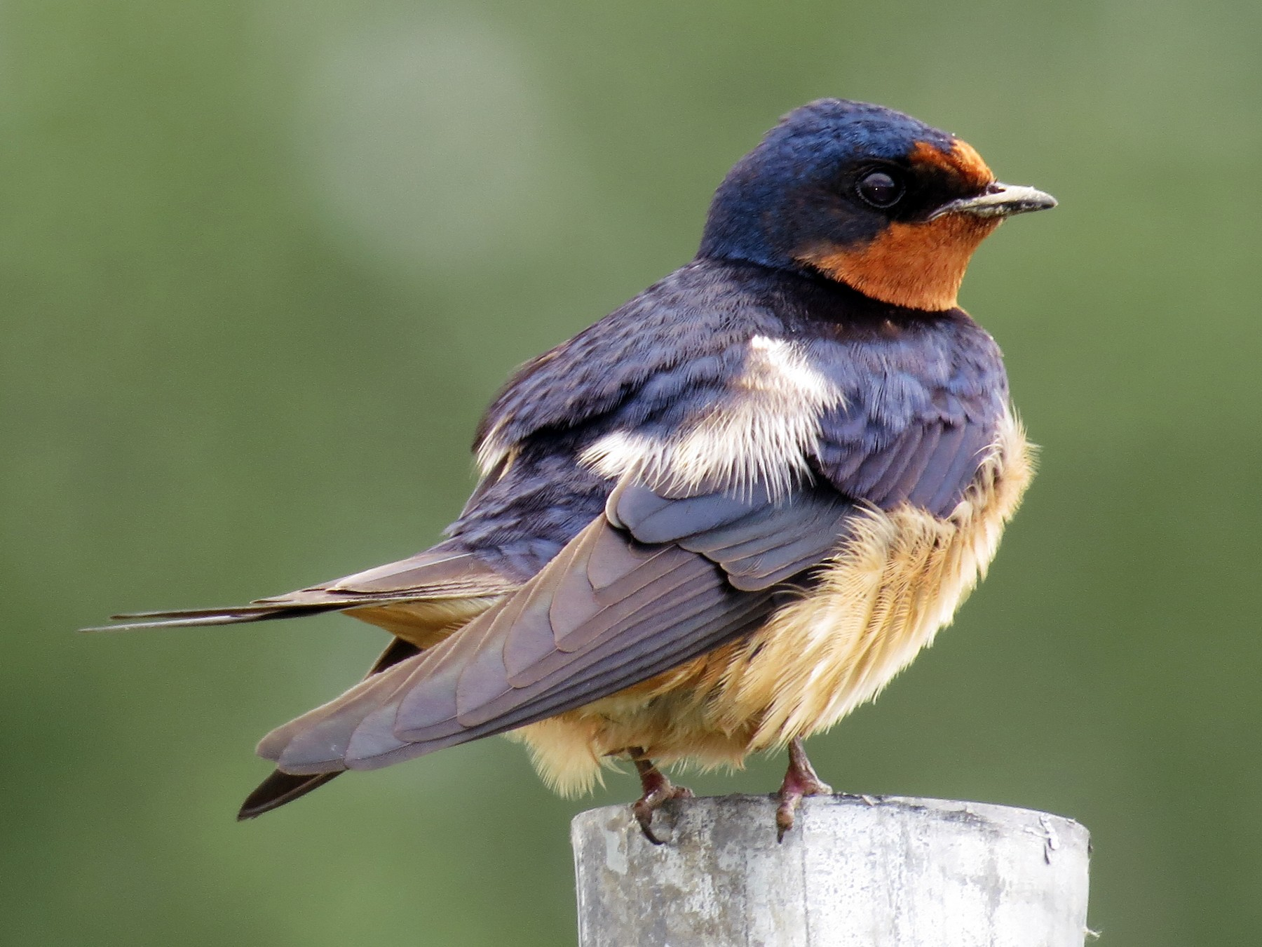 Barn Swallow - Ian Hearn