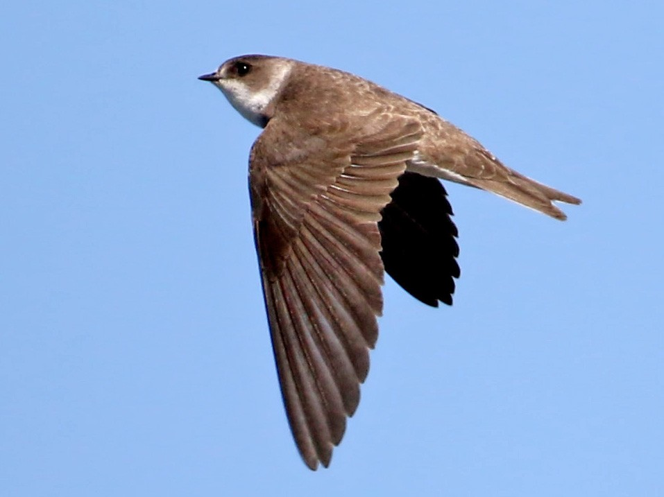 Bank Swallow - Jay McGowan