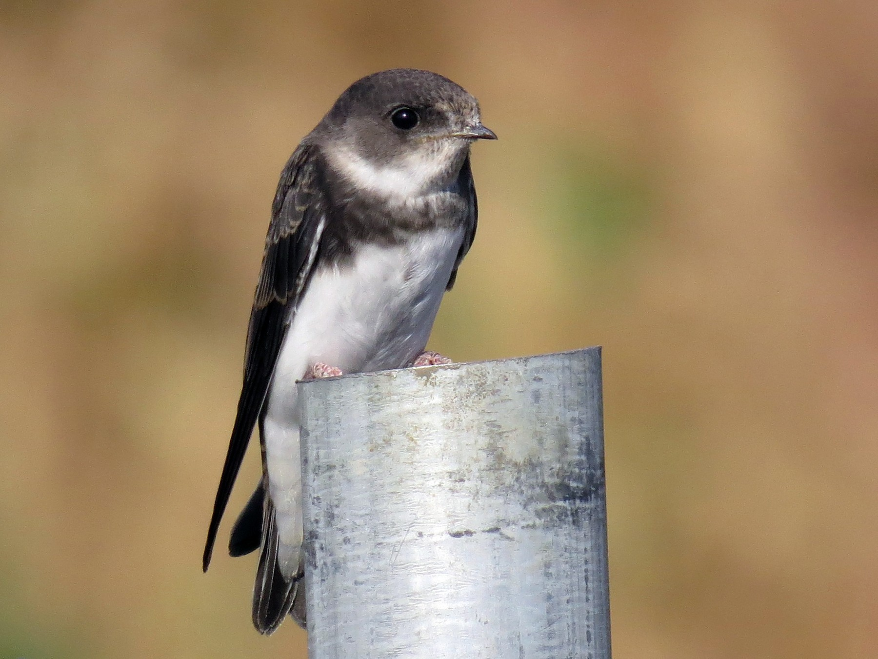 Bank Swallow - Ian Hearn