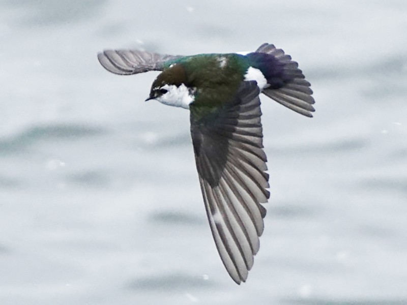 Violet-green Swallow - Jason B Bidgood