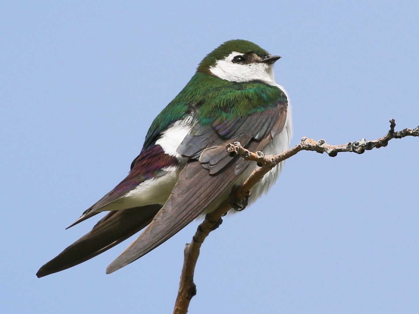 Violet-green Swallow - David Blue