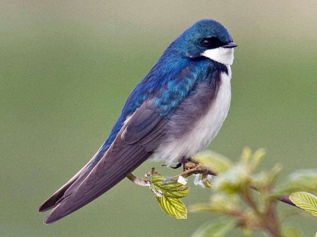 Tree Swallow - Greg Gillson