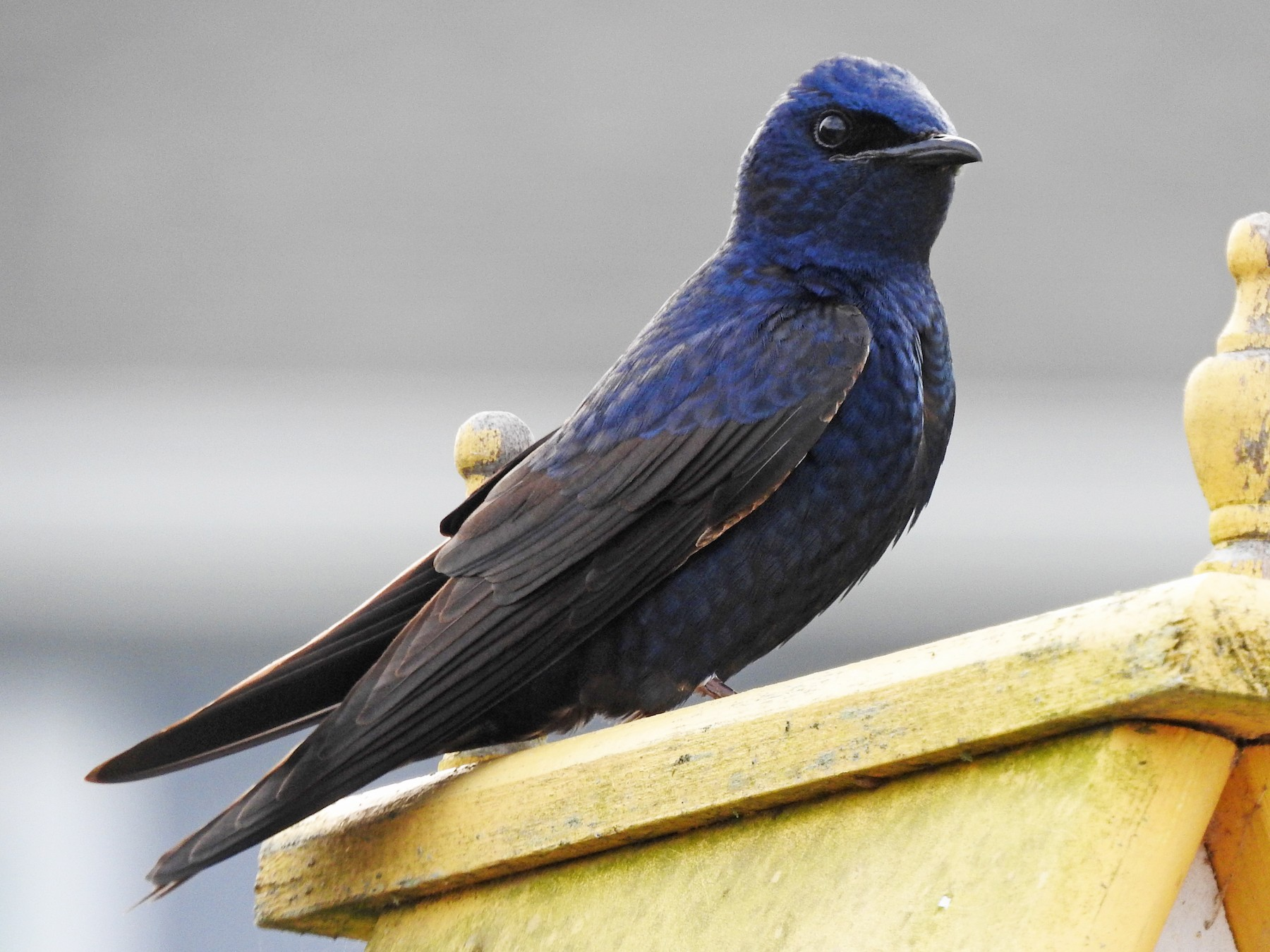 Purple Martin - Alan MacEachren