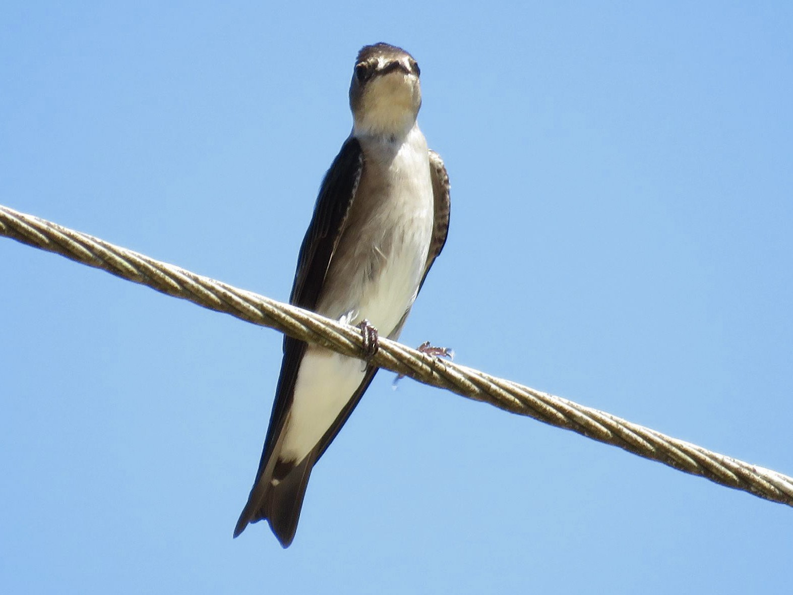 Northern Rough-winged Swallow - Yucatan Jay  (Birding, Canopy, Art & Culture)